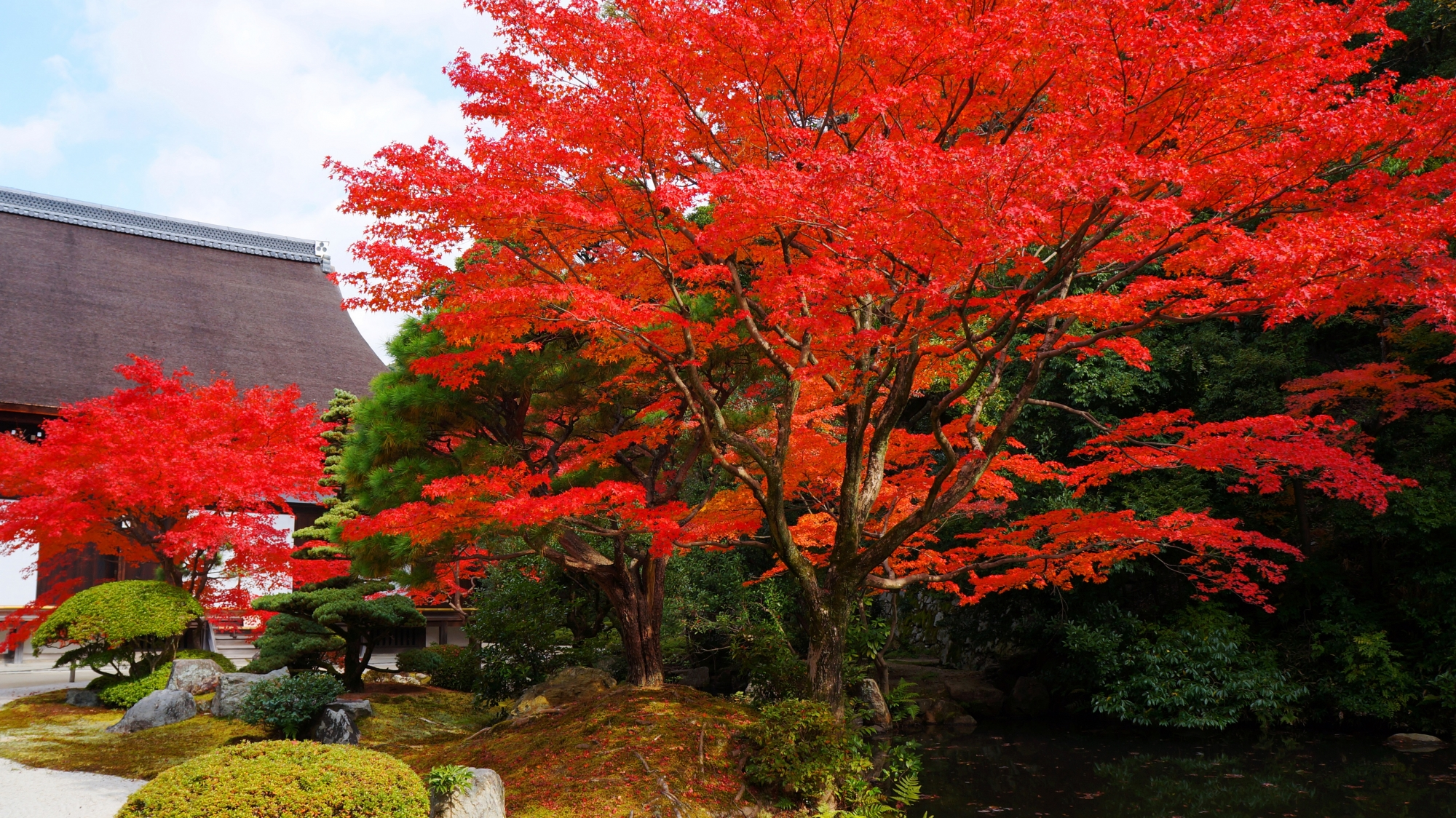 知恩院方丈庭園の多様な緑の中から溢れ出す豪快な紅葉