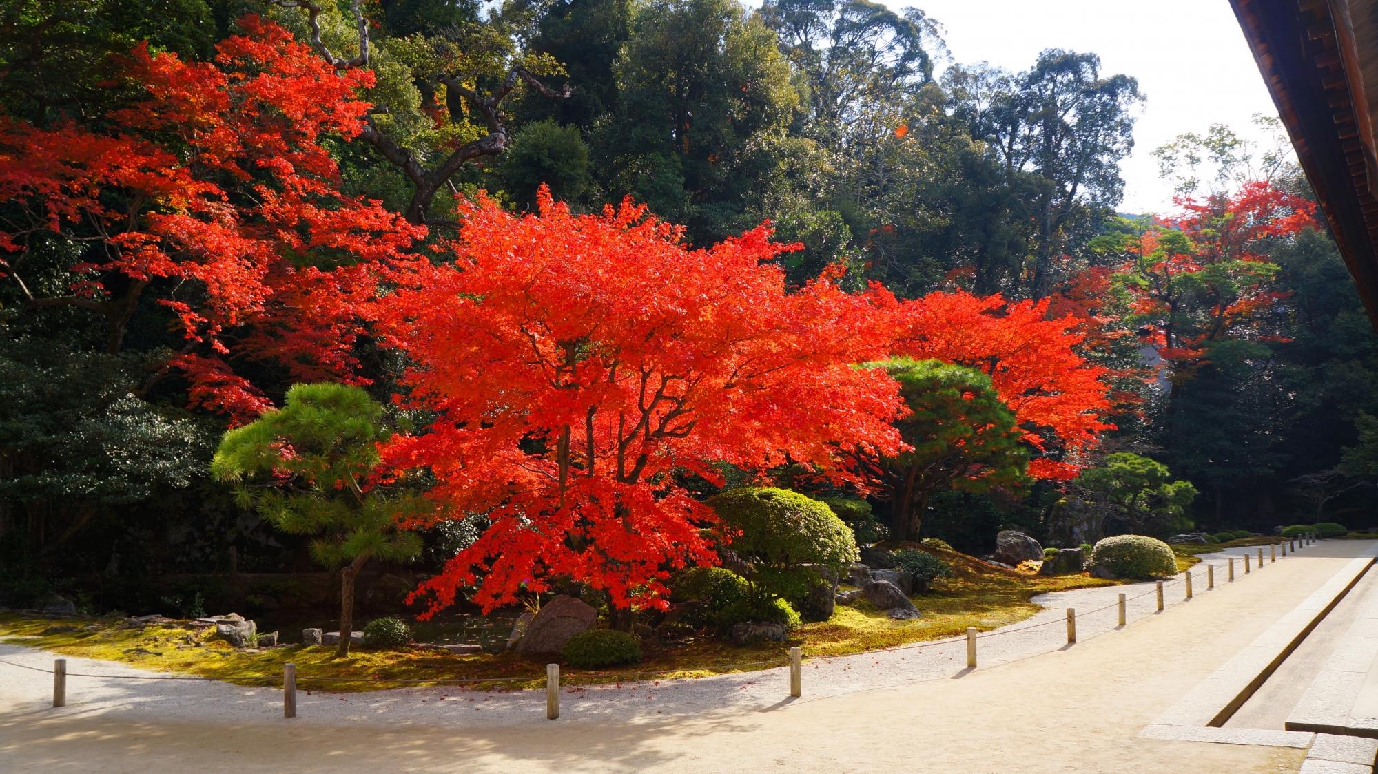 知恩院方丈庭園の白砂に映える鮮烈な色合いの赤さの紅葉