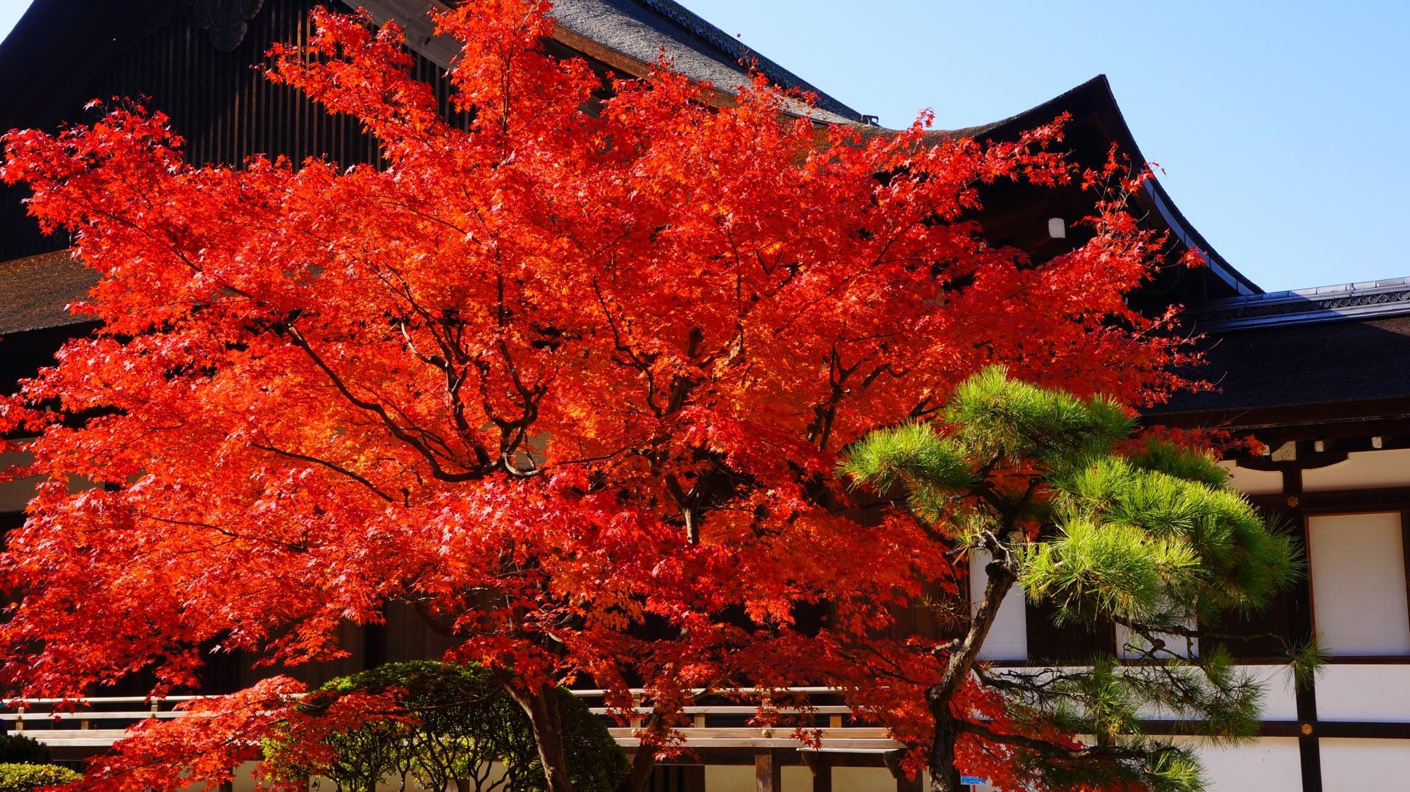 知恩院方丈庭園のこれ以上ないくらいの色づき圧巻の紅葉