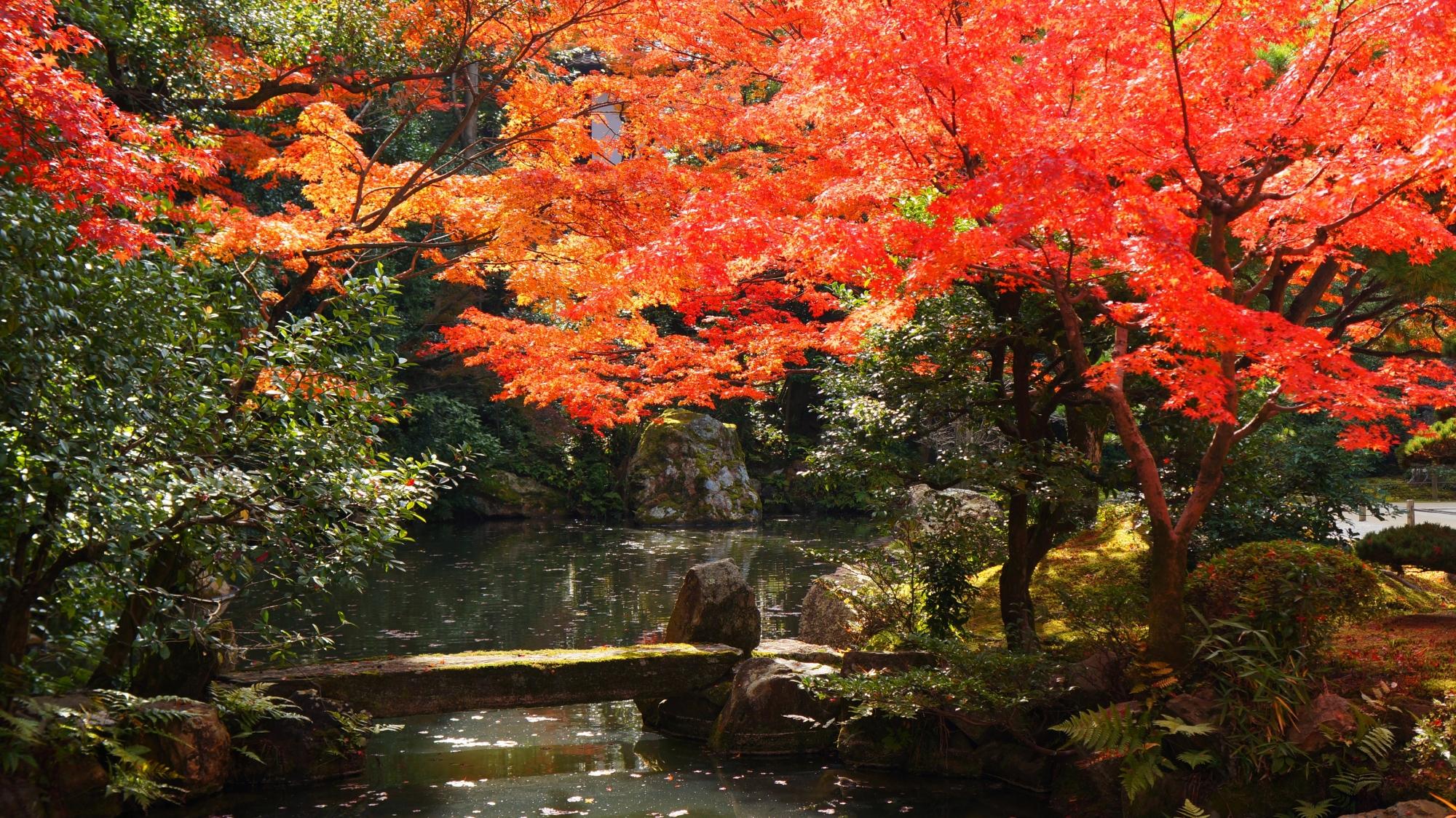 知恩院方丈庭園の太陽を浴びて煌く紅葉