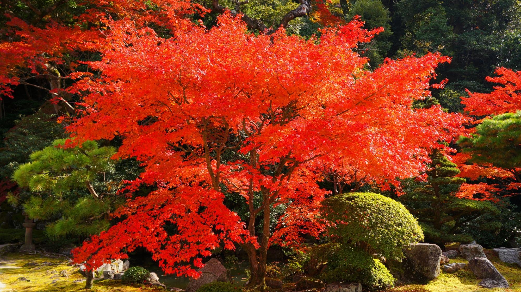 松やサツキの刈り込みなどの緑を覆う圧巻の秋色
