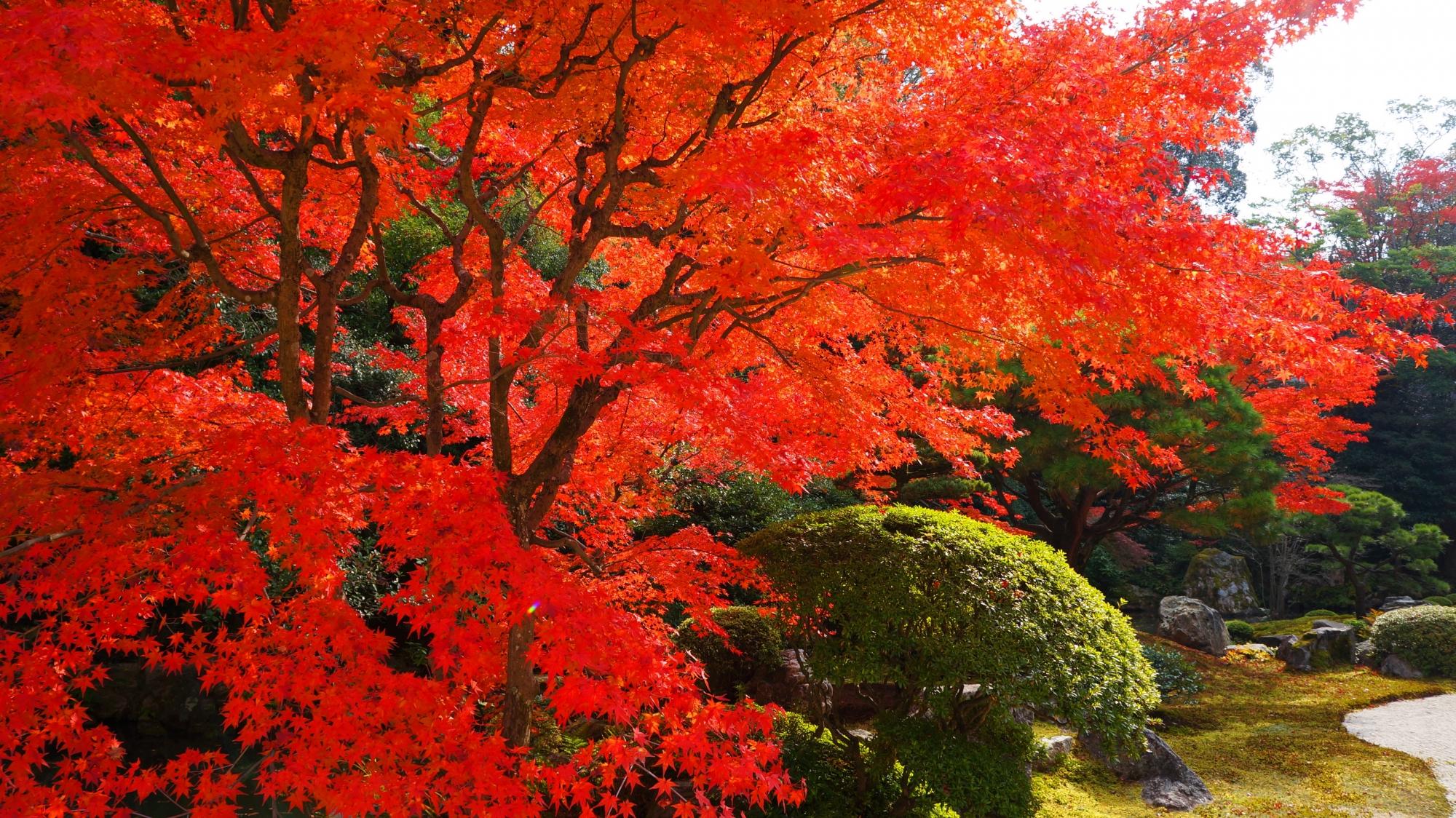 知恩院方丈庭園の溢れんばかりの豪快な真赤な紅葉