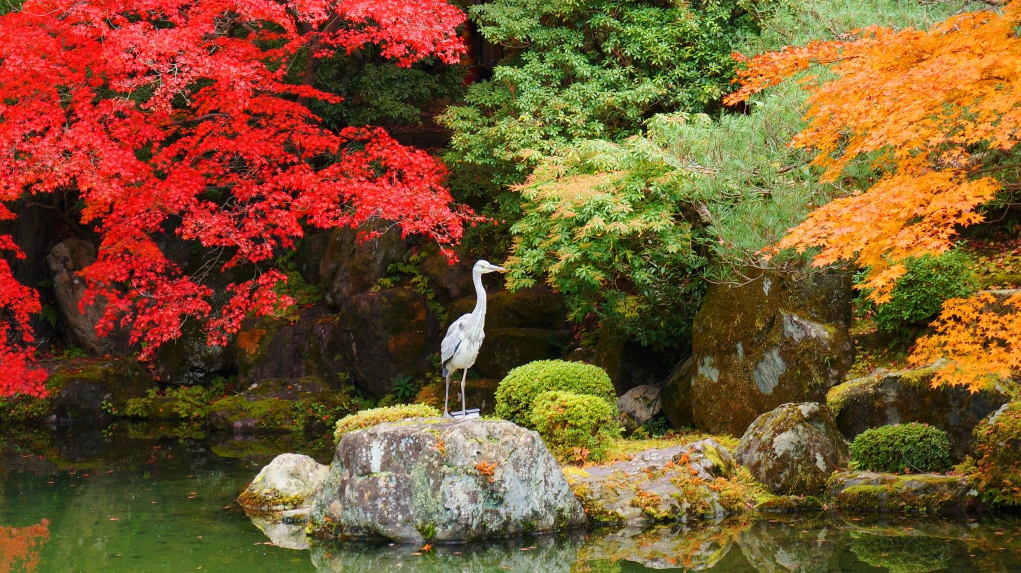 長閑に紅葉狩りを楽しむ友禅苑の鷺