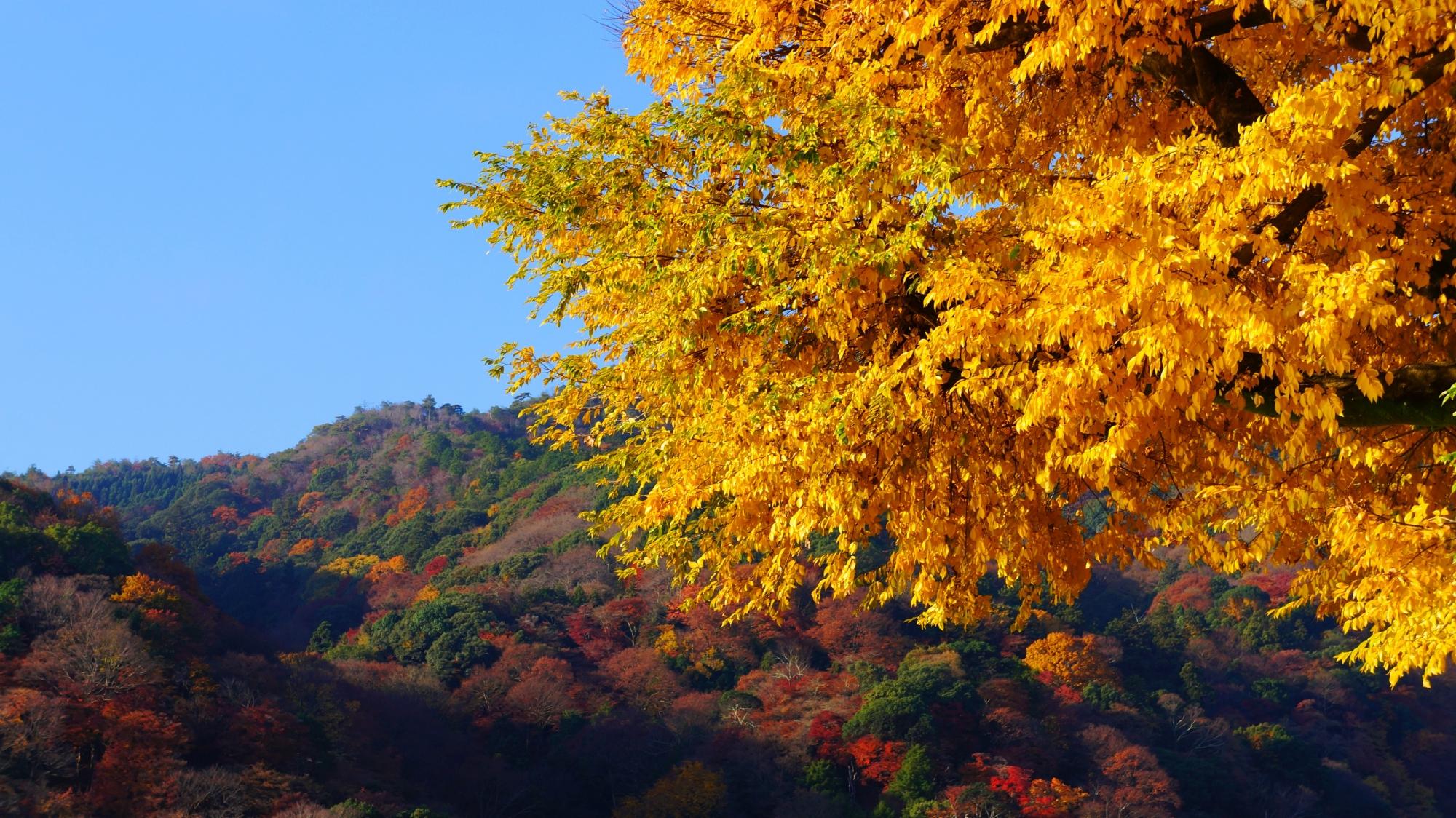 秋の嵐山を彩る太陽を浴びて煌く黄色い紅葉