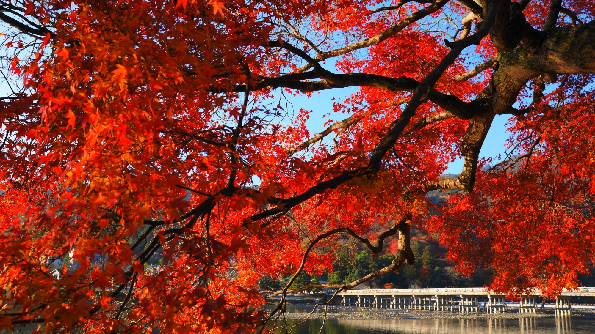 真っ赤に輝く紅葉に染まる渡月橋
