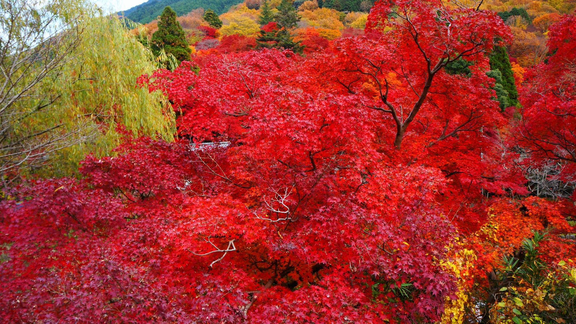真っ赤に色づく八瀬の紅葉