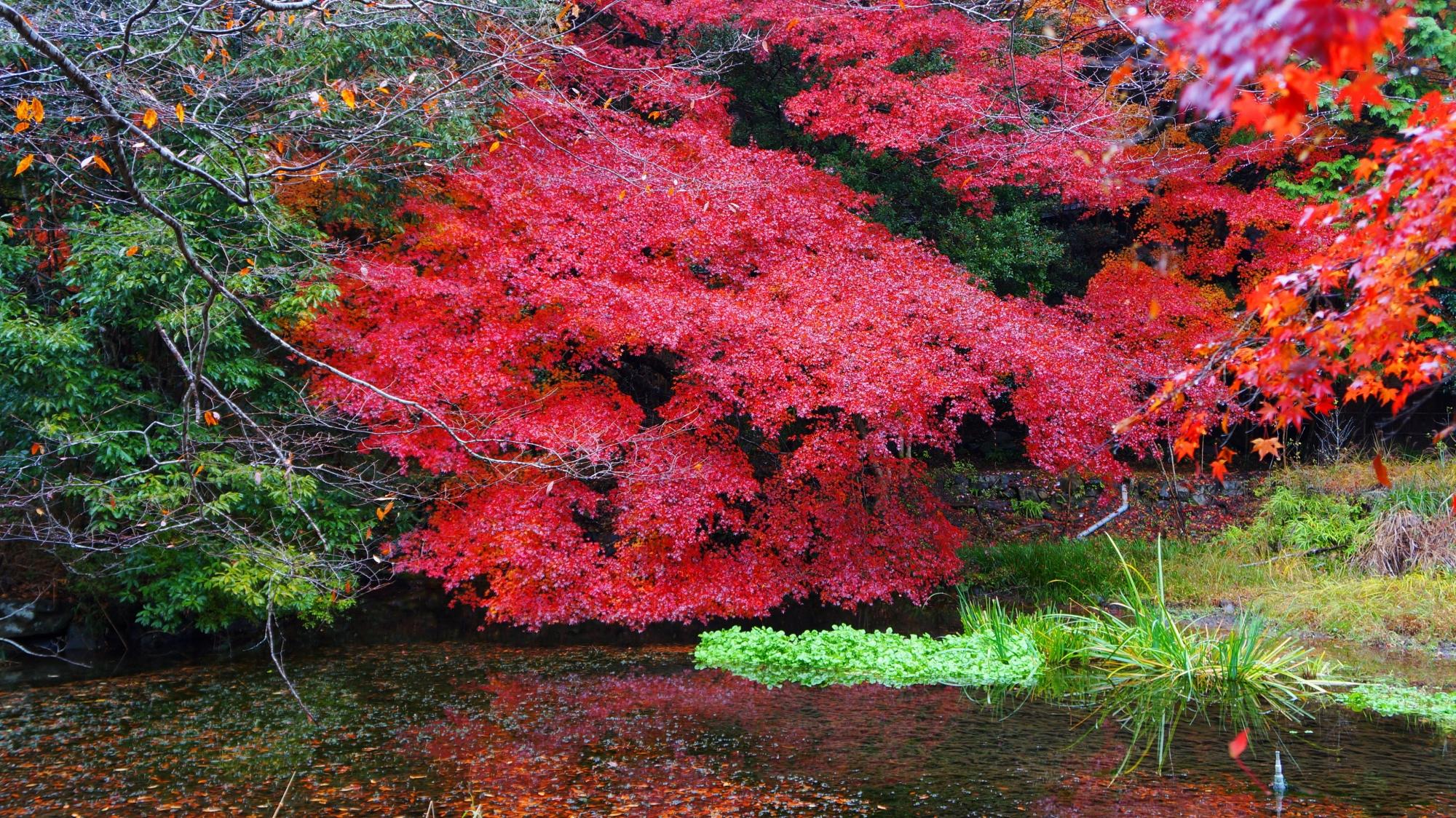 紅葉の名所の八瀬の秋の彩り