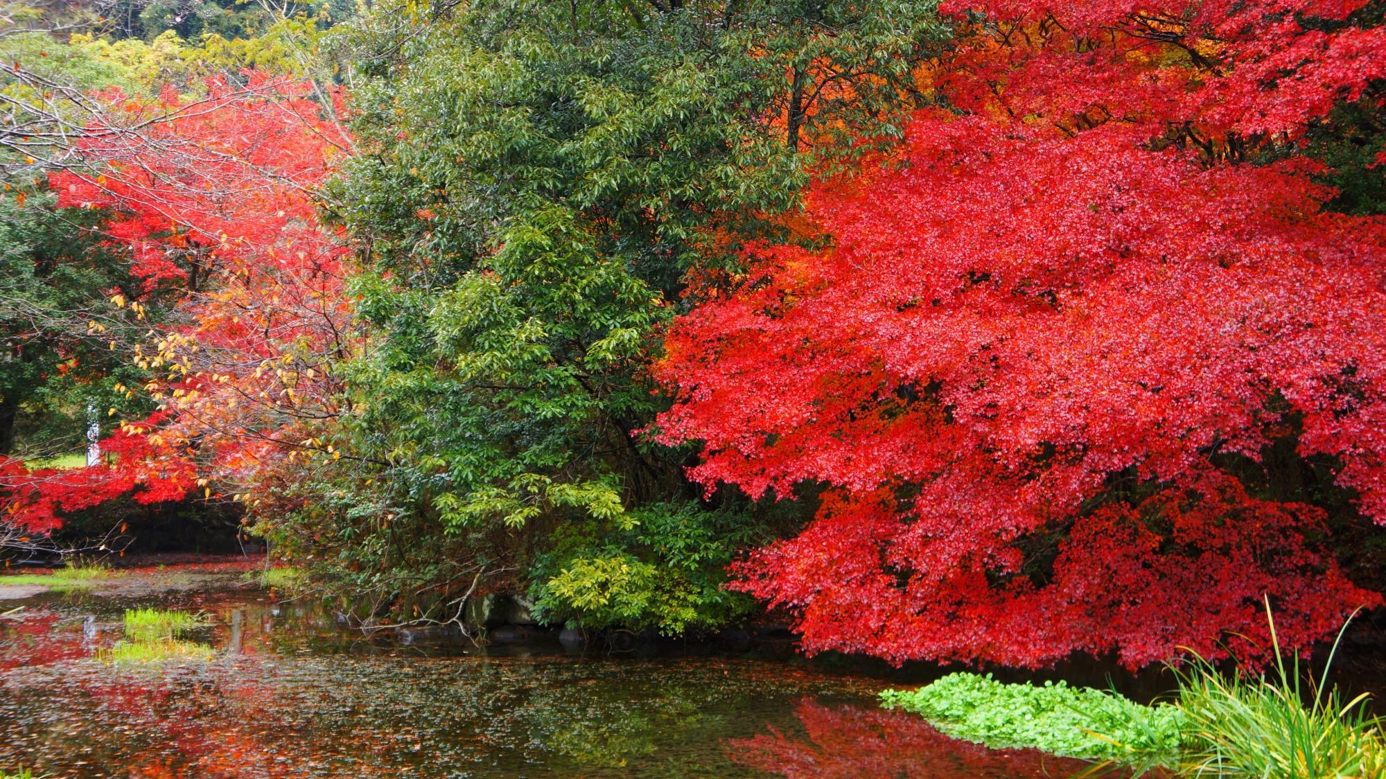 八瀬の池の畔の圧巻の紅葉
