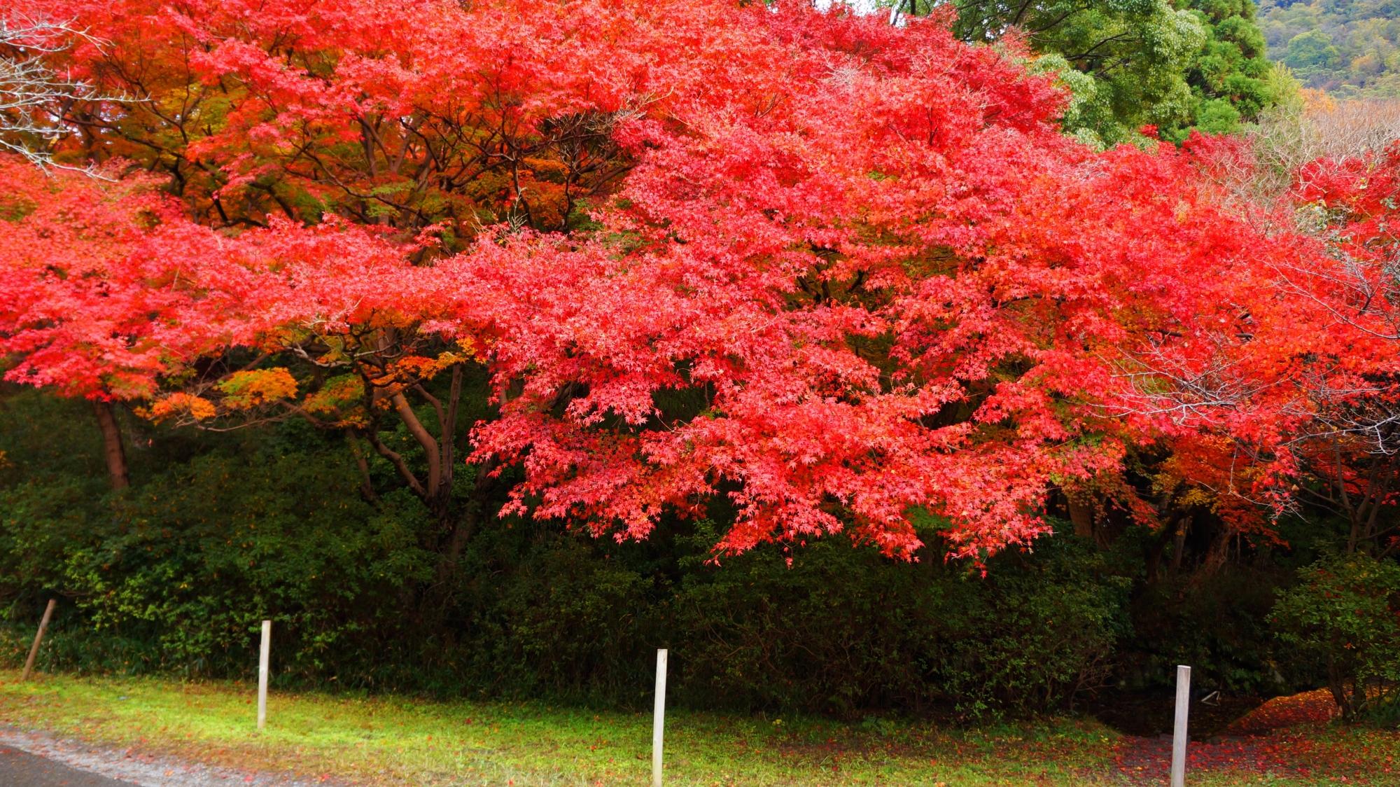 八瀬の鮮やかに色づいた紅葉