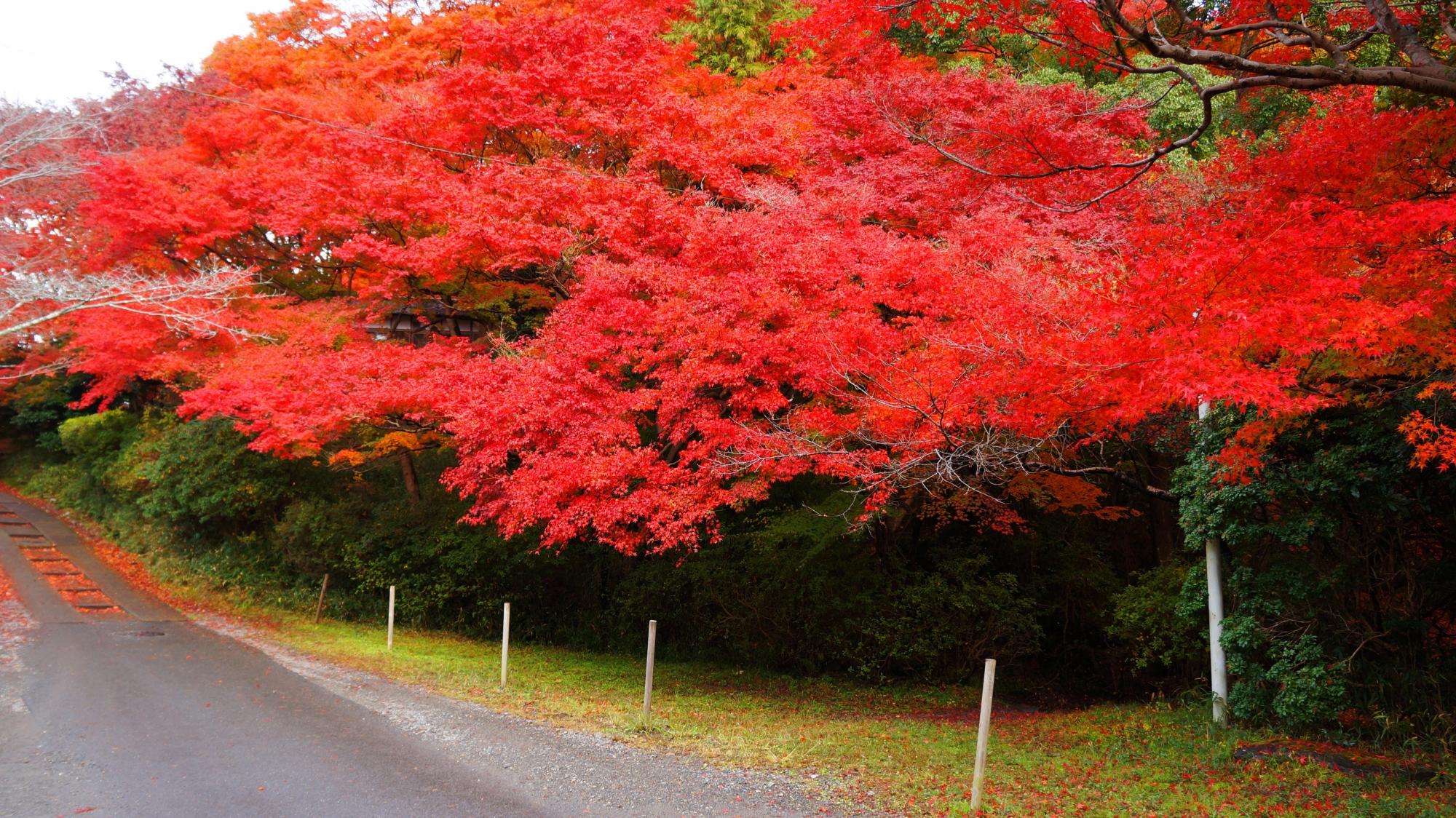 八瀬の物凄い紅葉