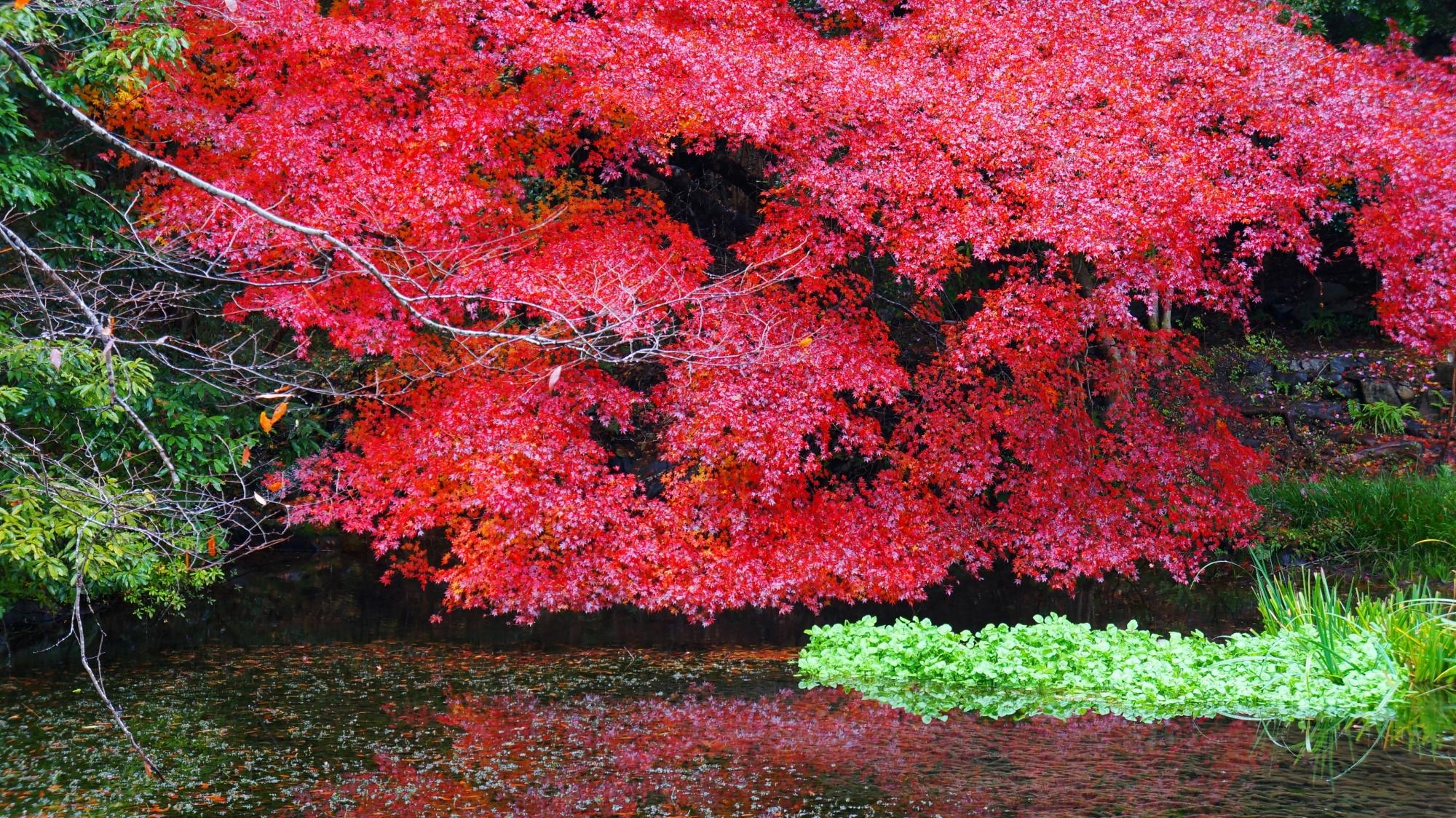 八瀬の緑に映える赤い紅葉