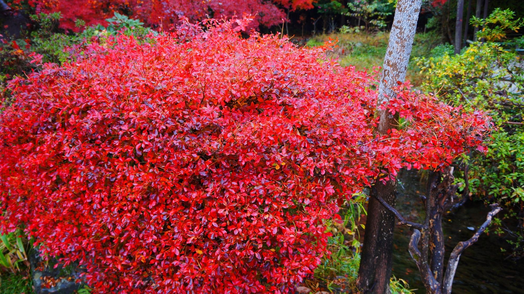八瀬のドウダンツツジの紅葉