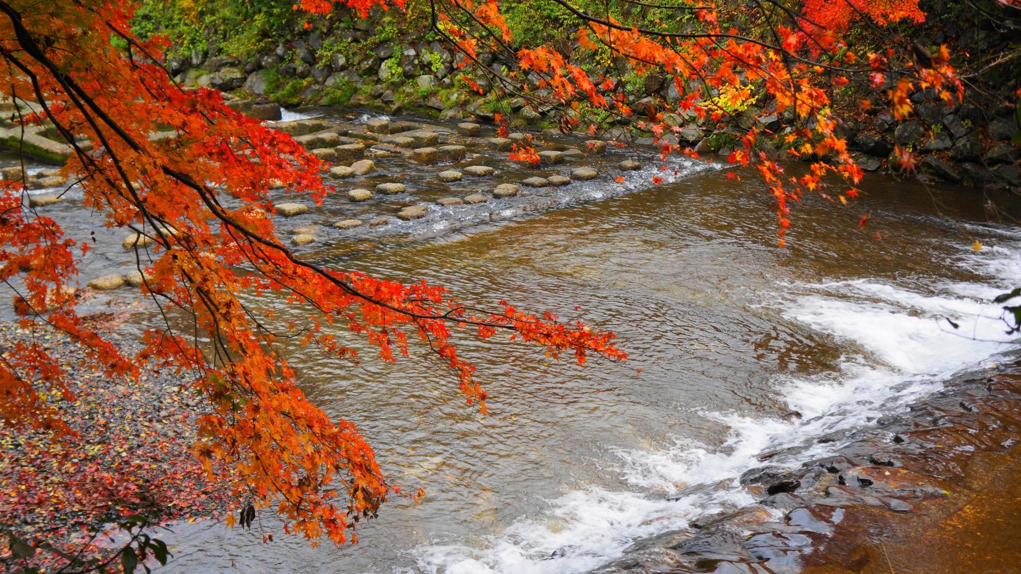 高野川の水辺の華やかな紅葉