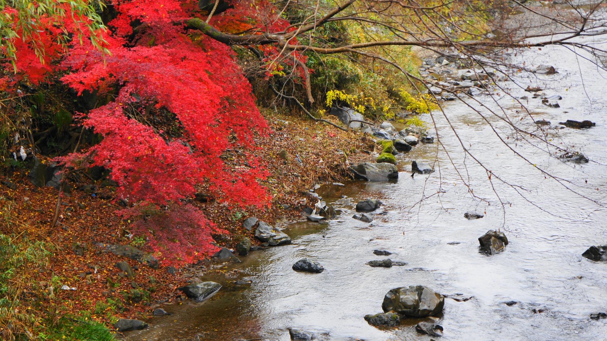 高野川の水辺に滴る美しい紅葉