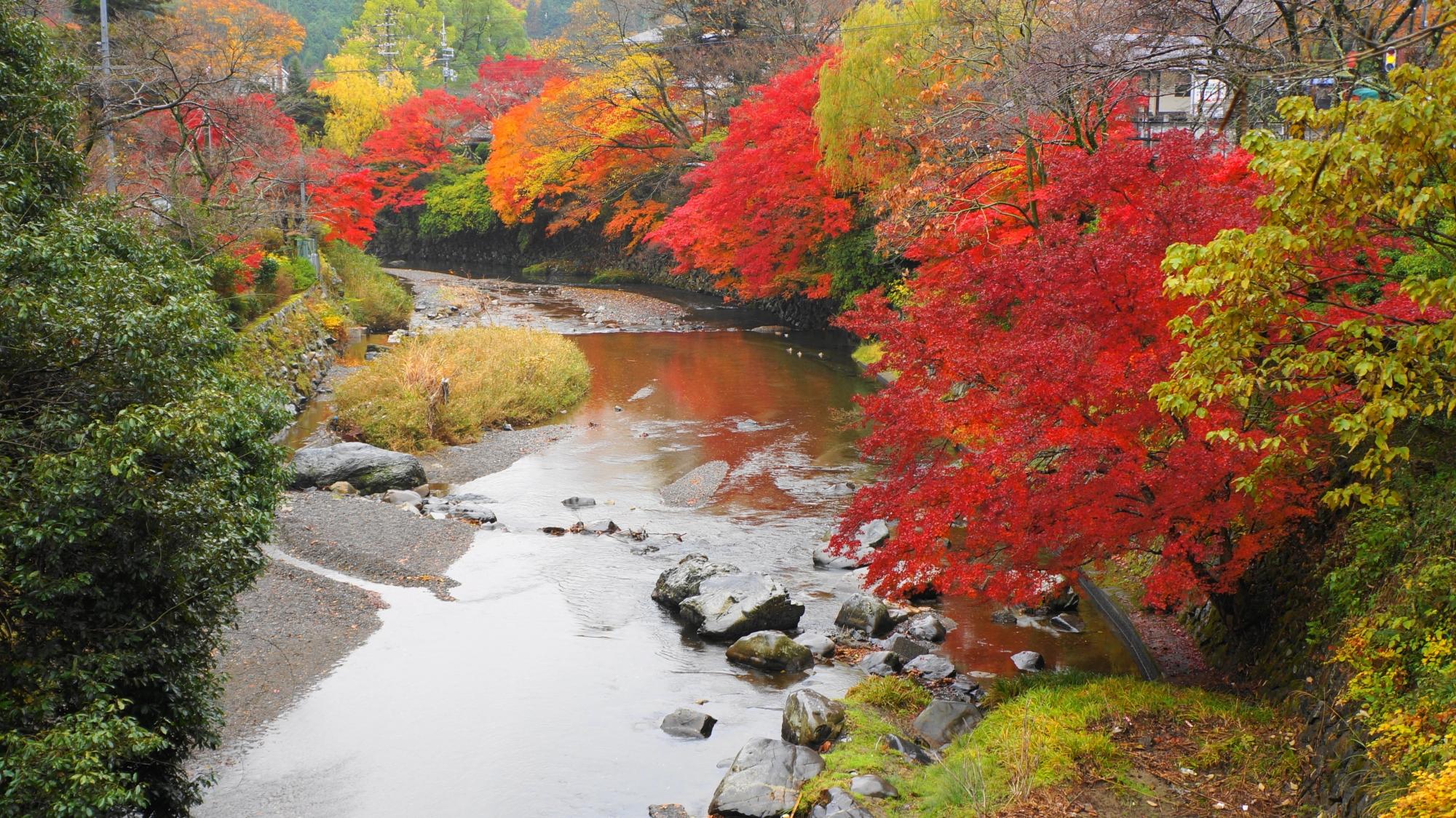 高野川の紅葉