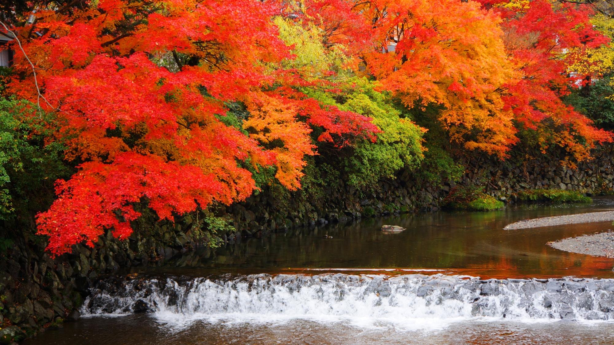 高野川の紅葉のグラデーション
