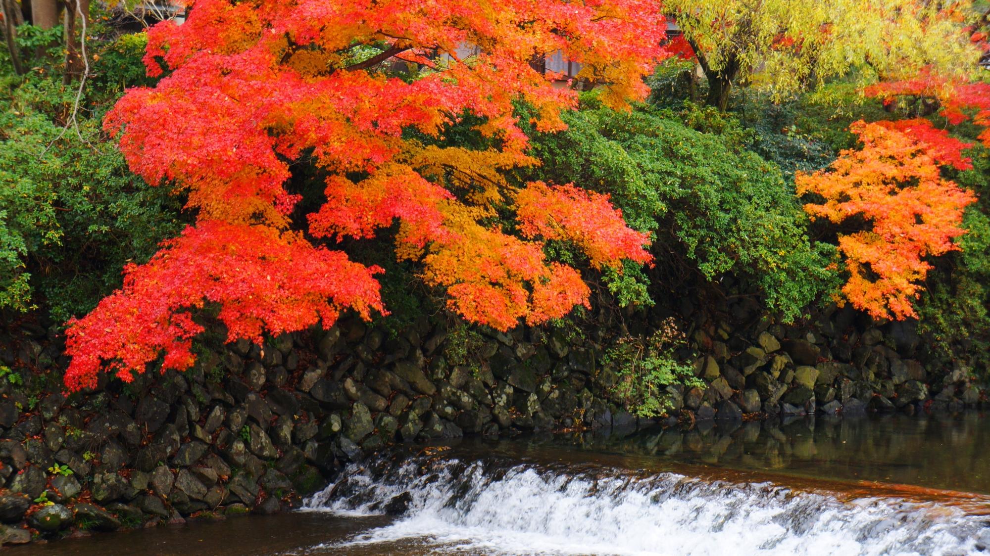 高野川の見ごろの紅葉