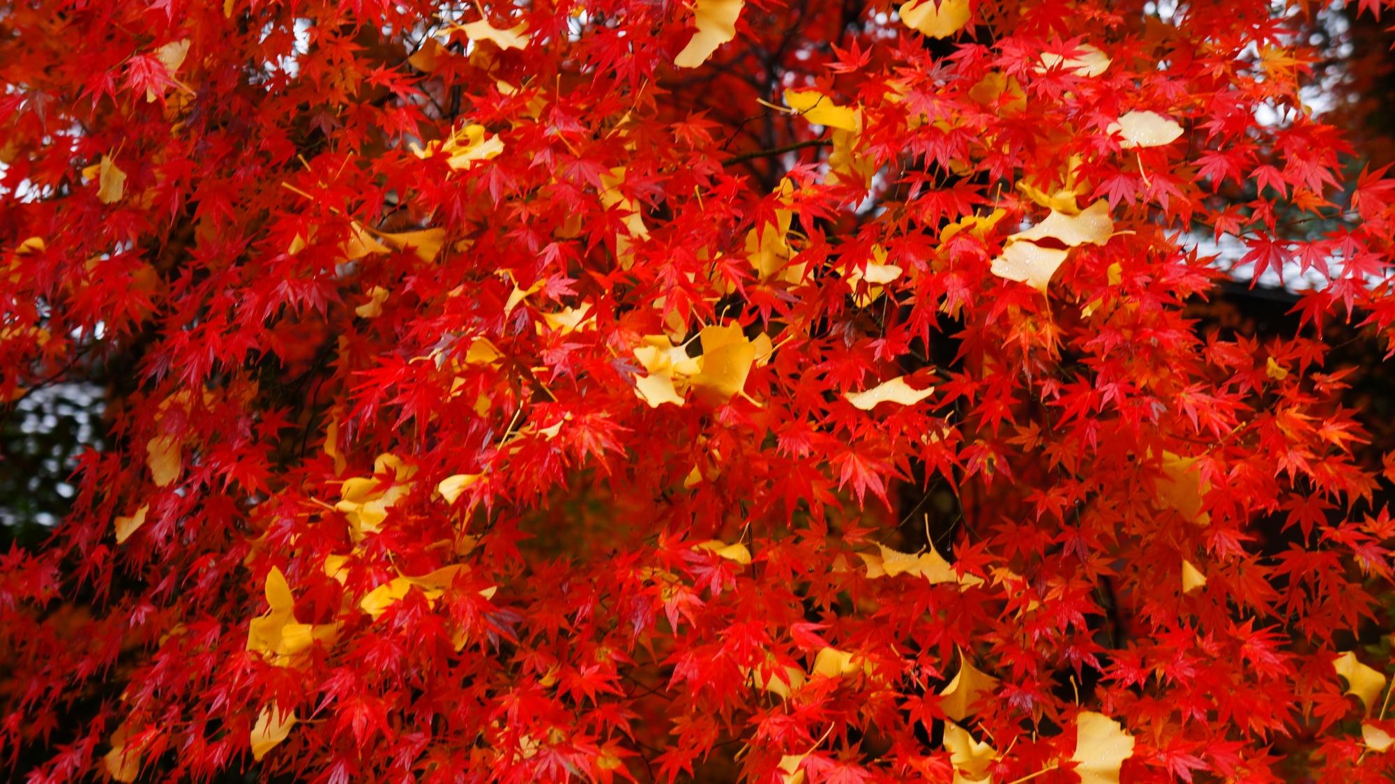 栖賢寺の真っ赤な紅葉に黄色い銀杏が散った秋の情景