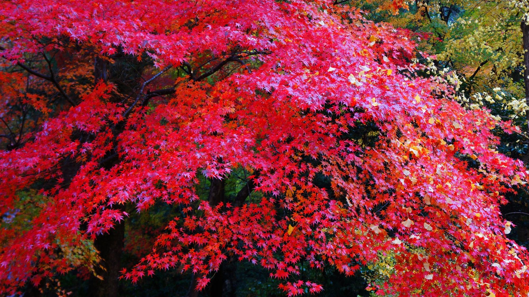 栖賢寺の鮮やかな色づきの紅葉