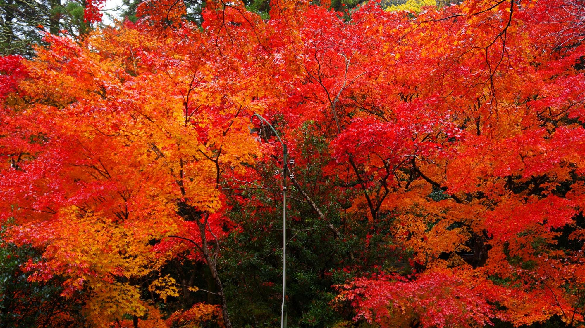 栖賢寺の燃え上がるような赤や濃いオレンジ色の紅葉