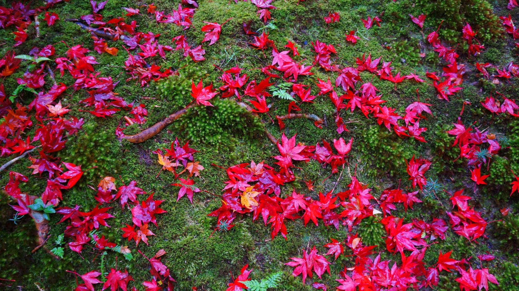 素晴らしすぎる鮮やかな散り紅葉