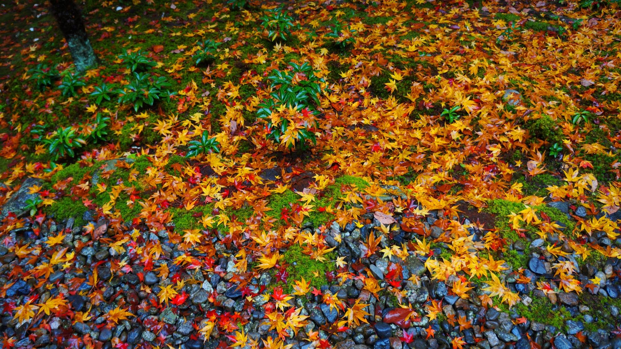栖賢寺の本堂前の見事な散紅葉