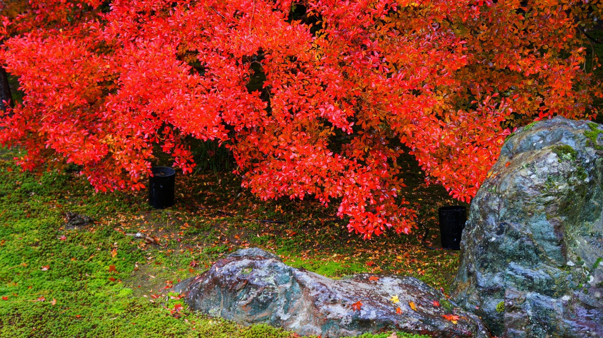 宝厳院の真っ赤に色づいたドウダンツツジ