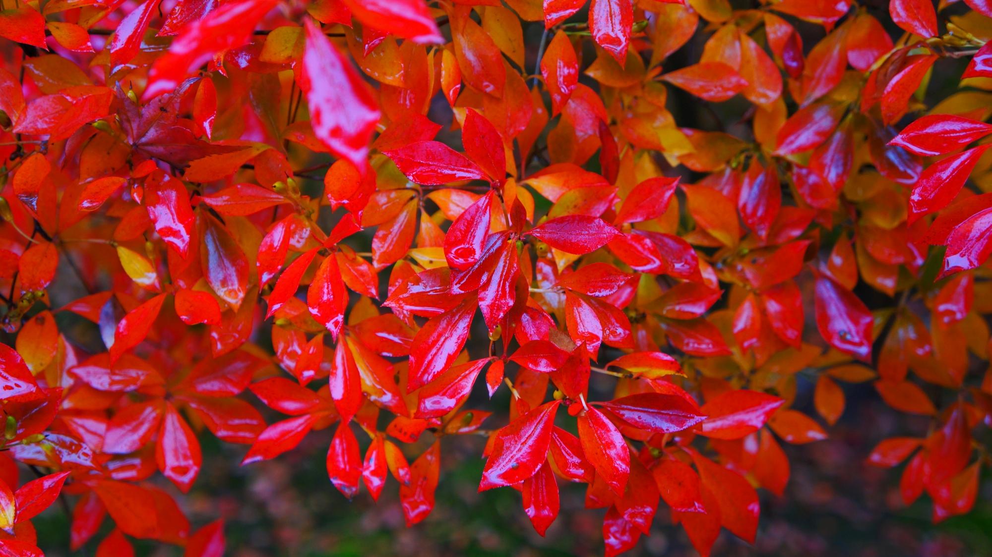 雨に濡れて葉が輝くドウダンツツジ