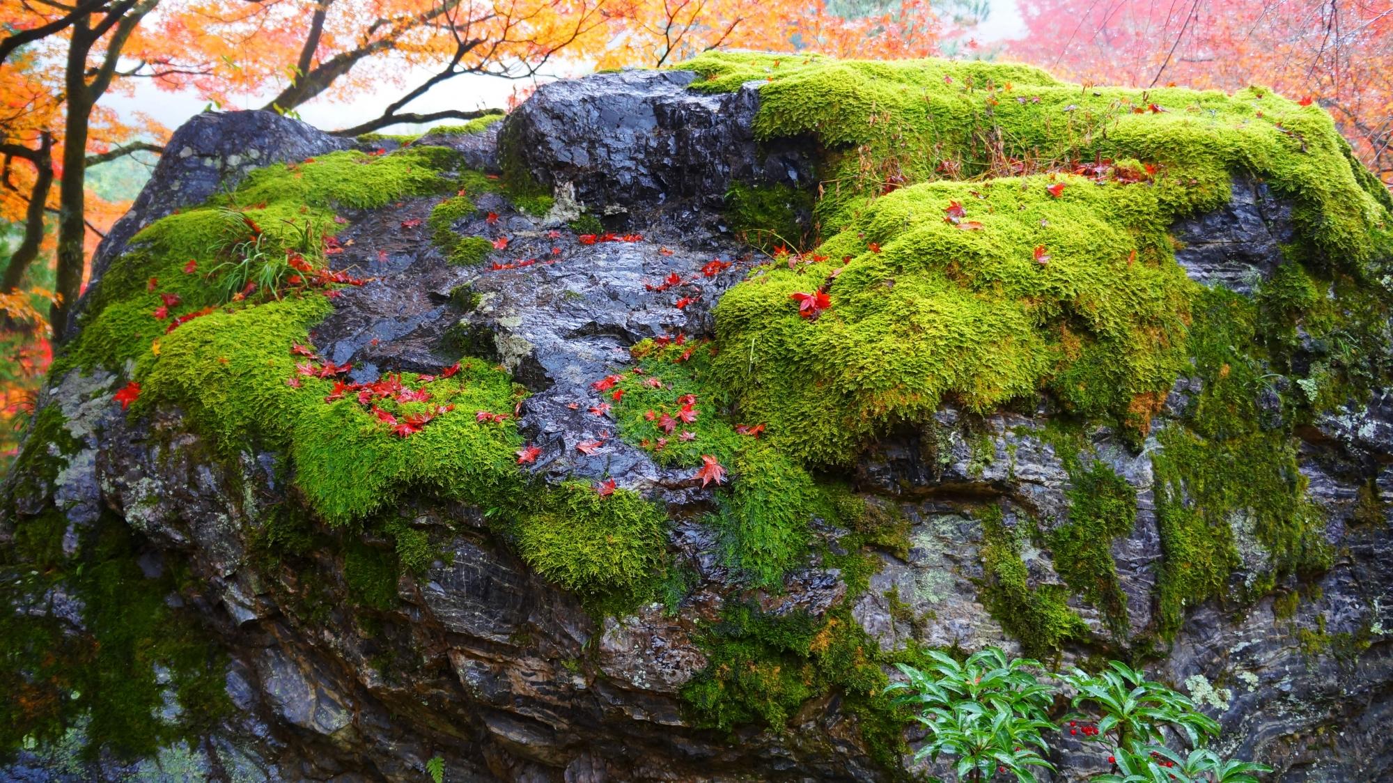 風流な碧岩の苔と赤い散紅葉