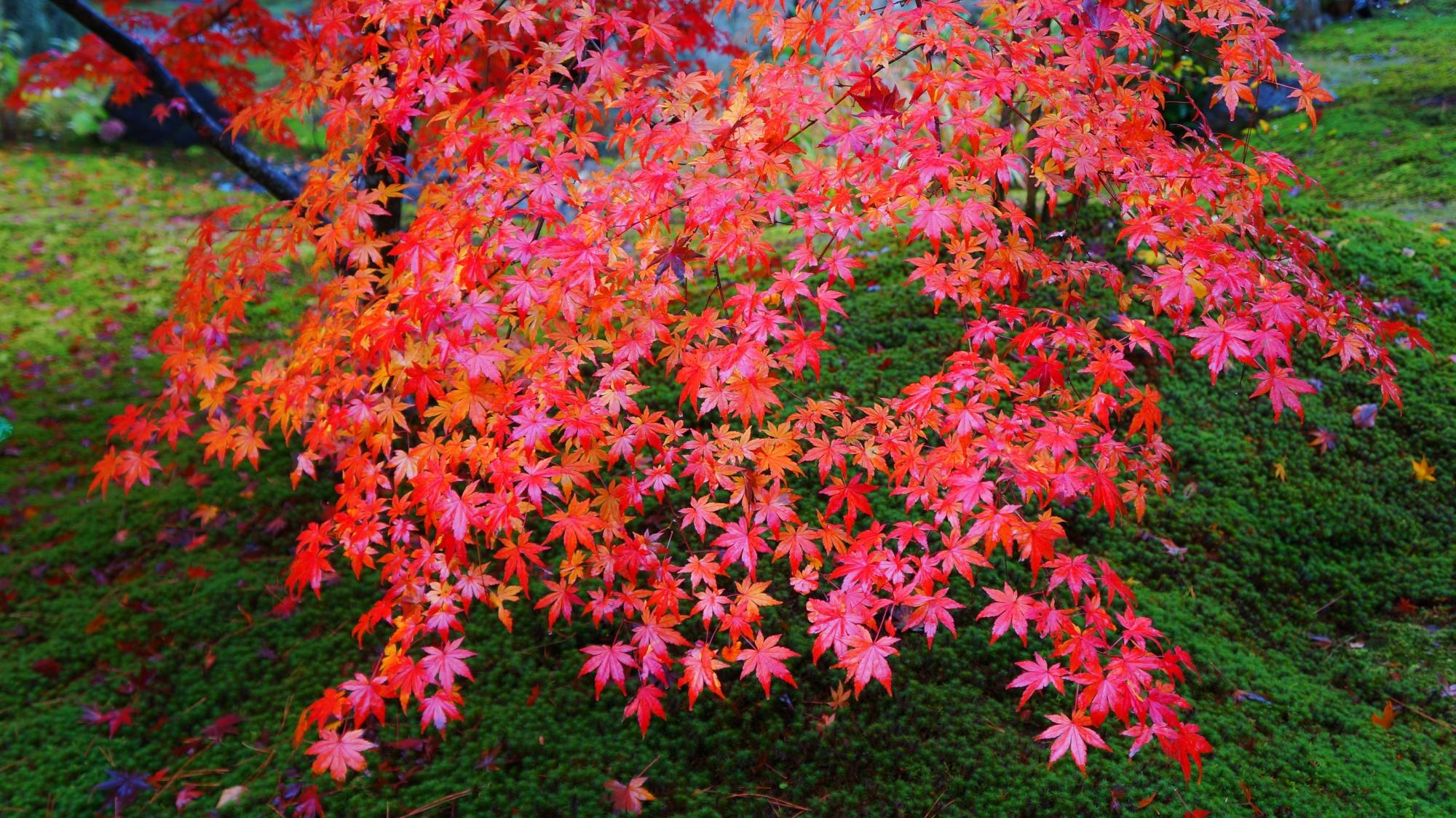 宝厳院の緑に映える赤い紅葉