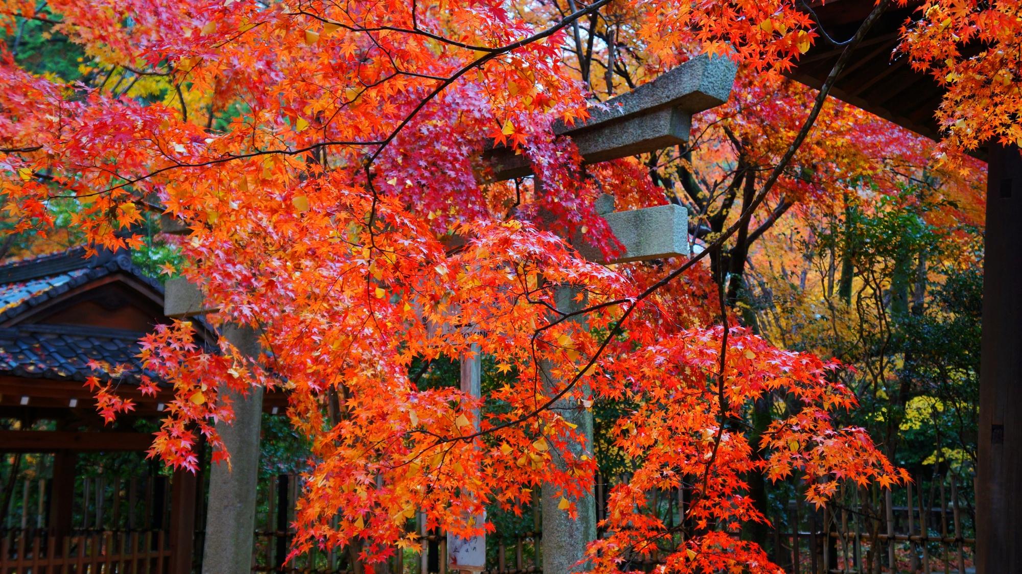 鳥居に降りかかる鮮やかな紅葉