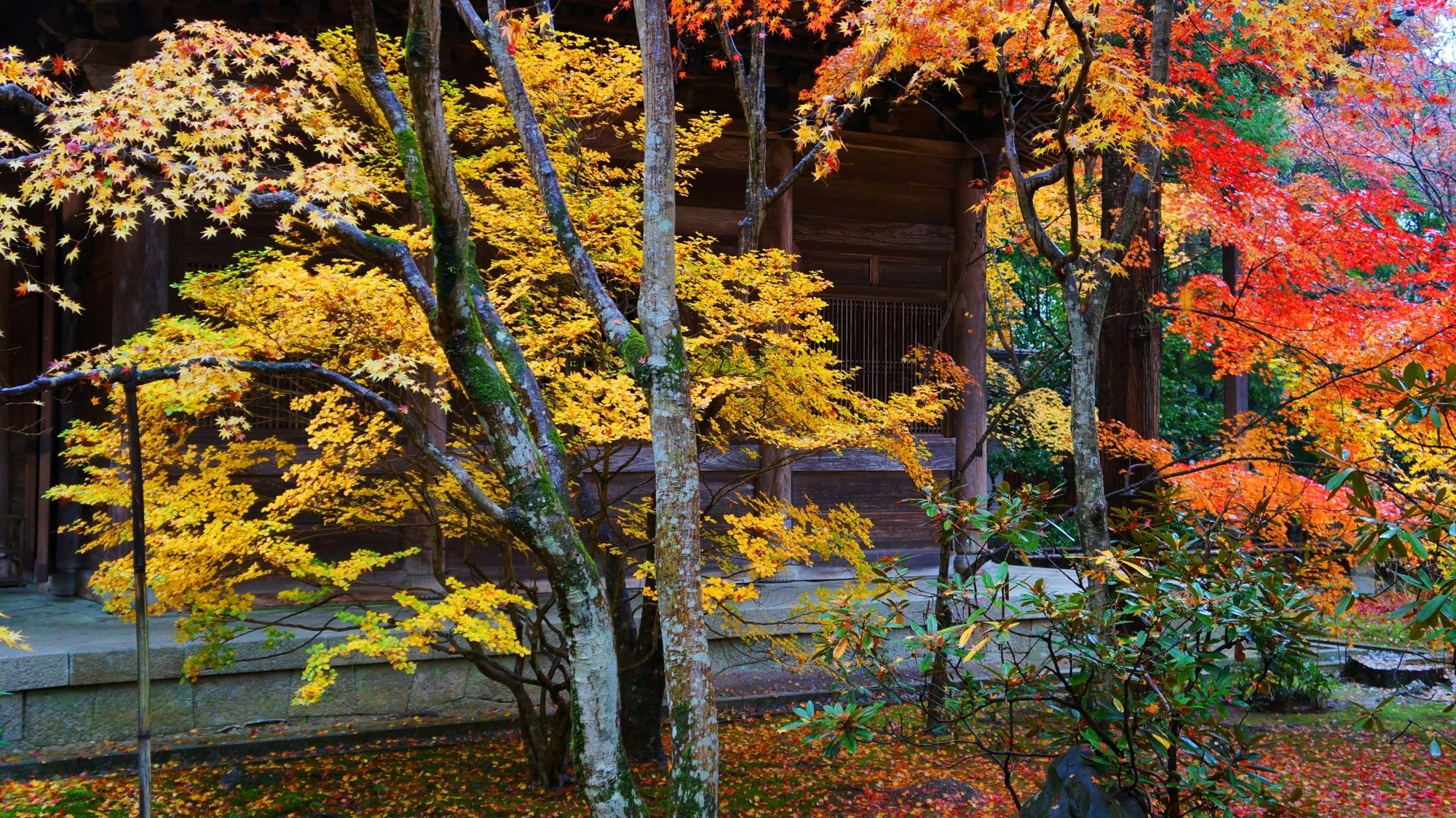 蓮華寺の本堂横の黄色い紅葉