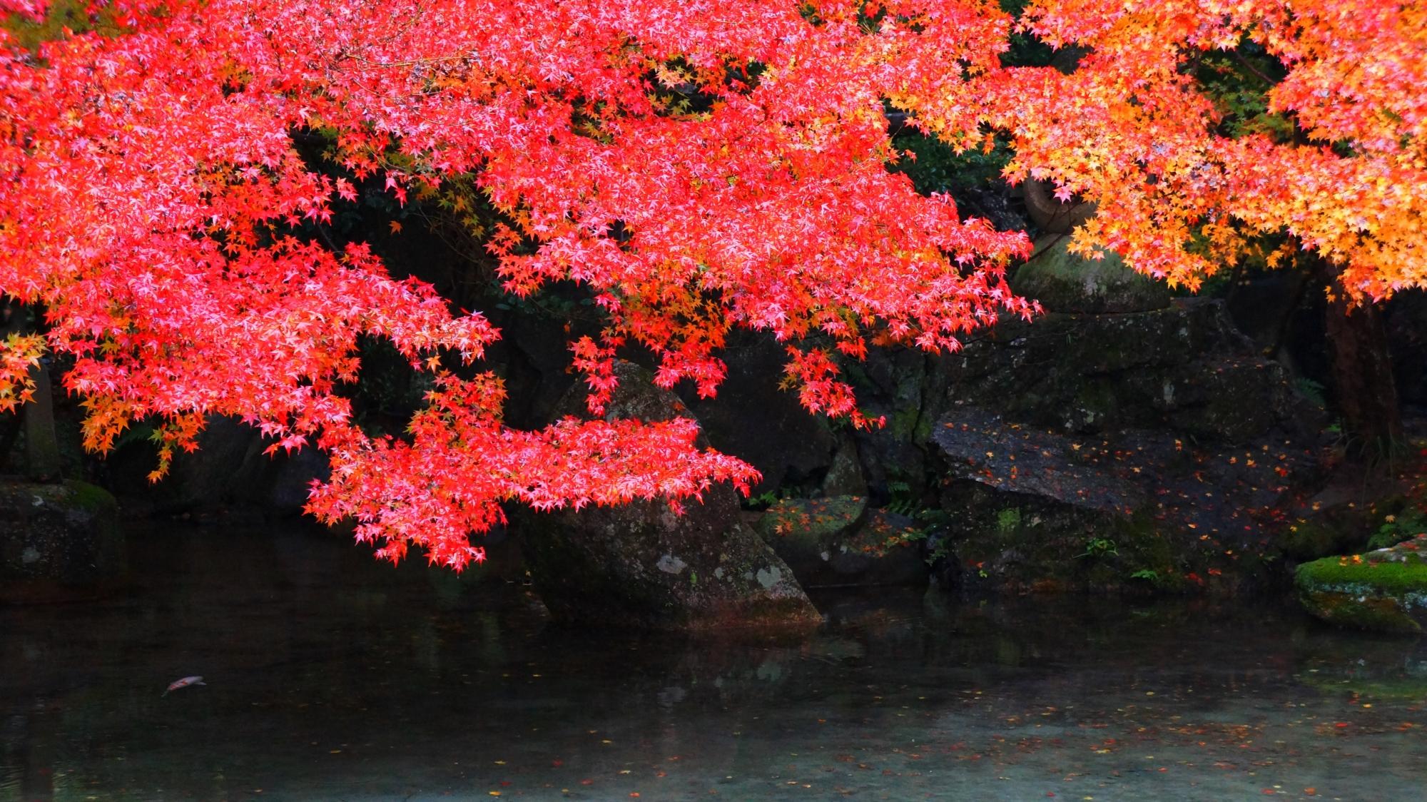 蓮華寺の池泉庭園の赤い紅葉