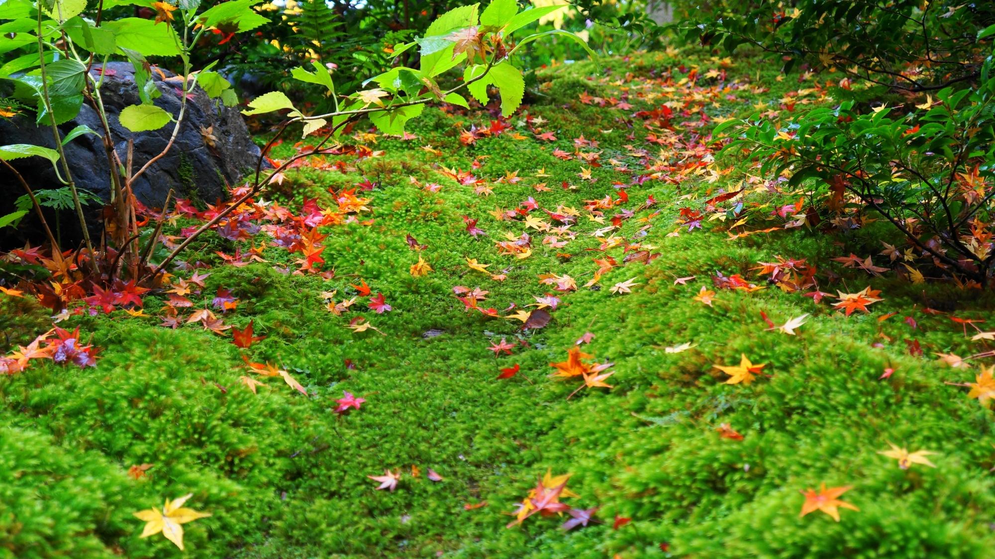 瑠璃光院の緑の苔に散る華やかな紅葉