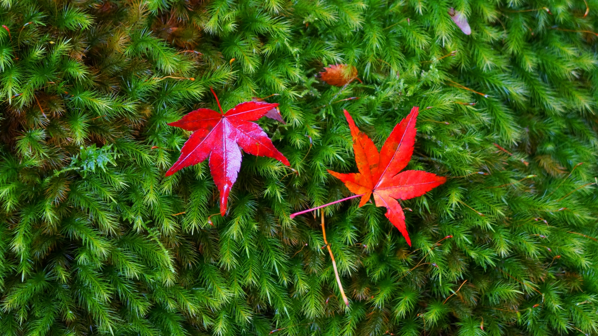 綺麗な苔の上に散る真っ赤紅葉j
