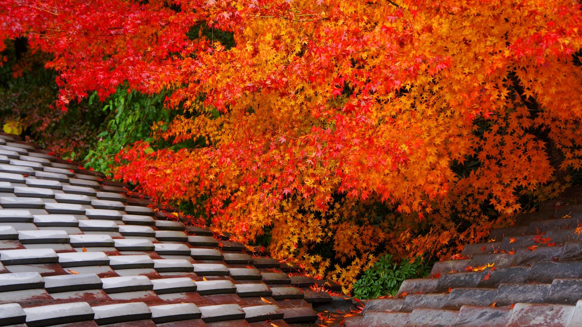 瑠璃光院の書院北側の良く色づいた紅葉