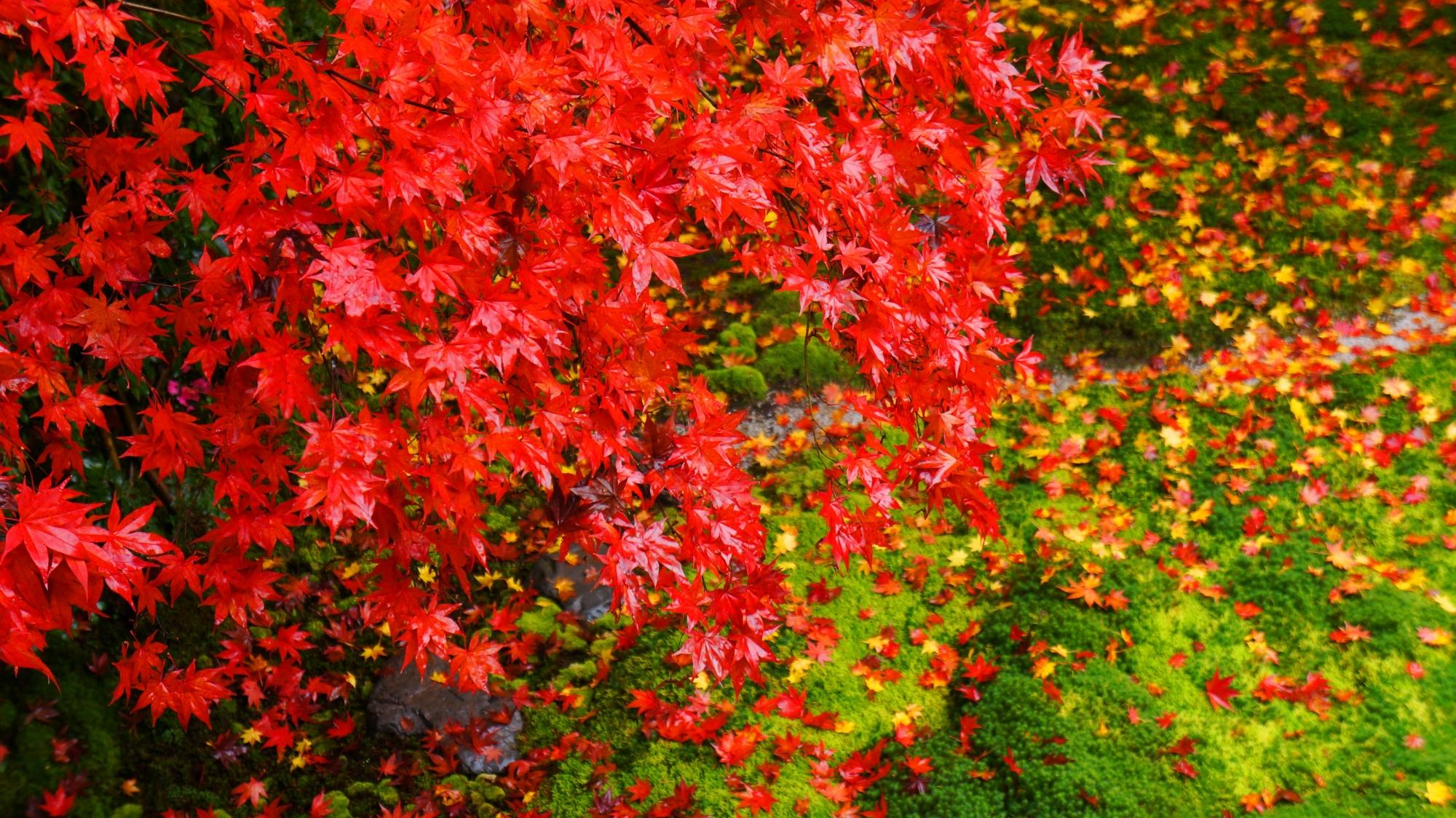 書院二階より眺めた瑠璃の庭の最高に色づいた真っ赤な紅葉