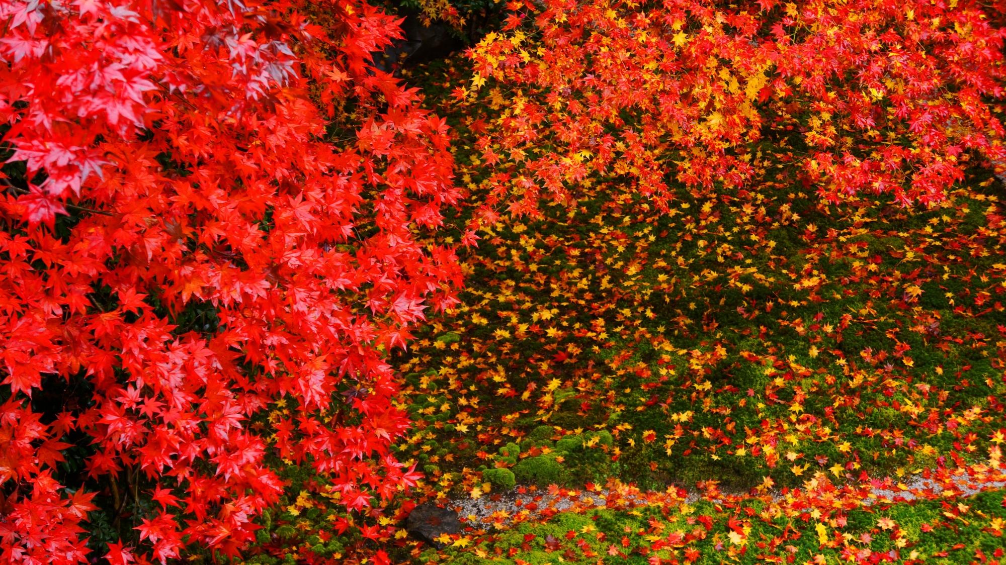 瑠璃光院の書院二階から見下ろす鮮やかな散り紅葉と色とりどりの紅葉