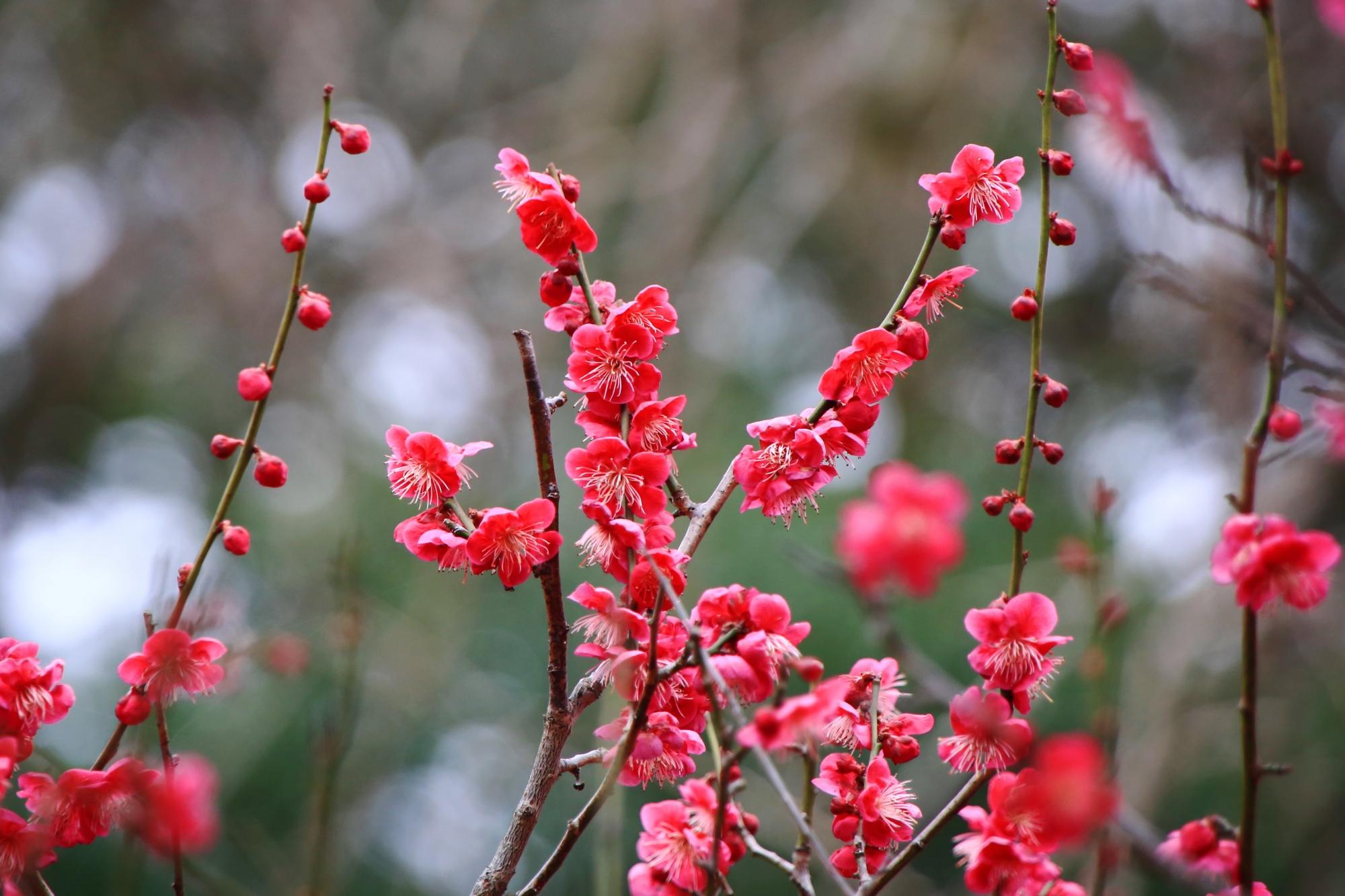 下鴨神社の見ごろの光琳の梅