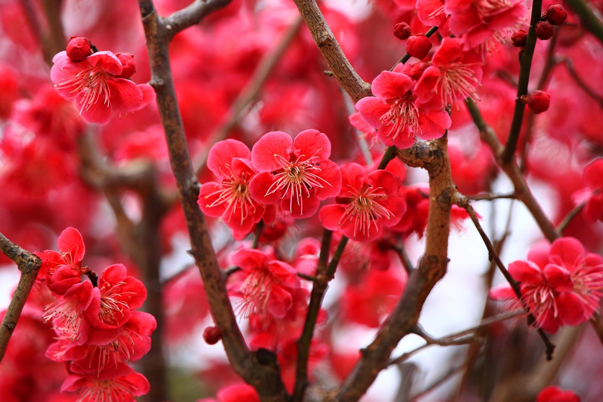 赤色に近い濃いビビッドなピンクの梅の花