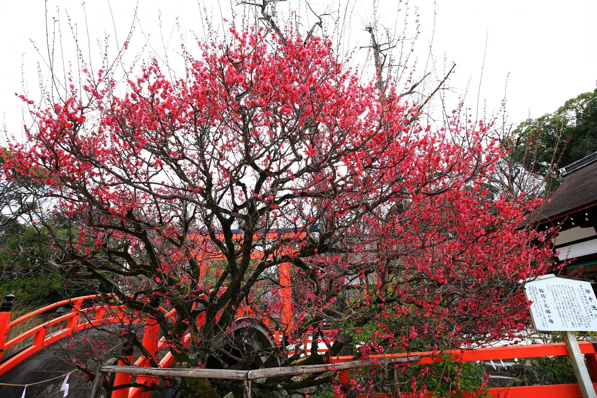 満開の光琳の梅