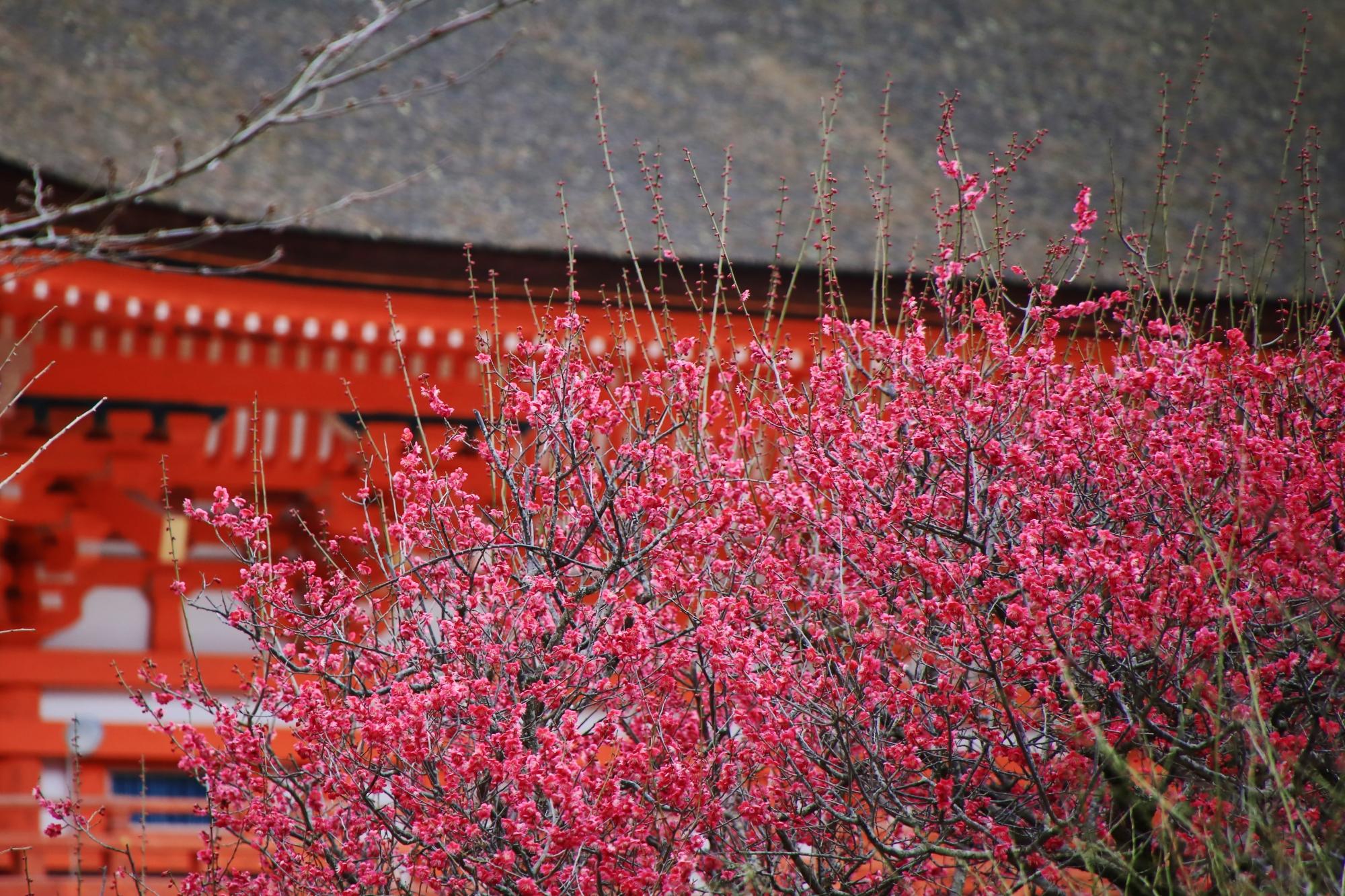 高画質 写真 光琳の梅 下鴨神社