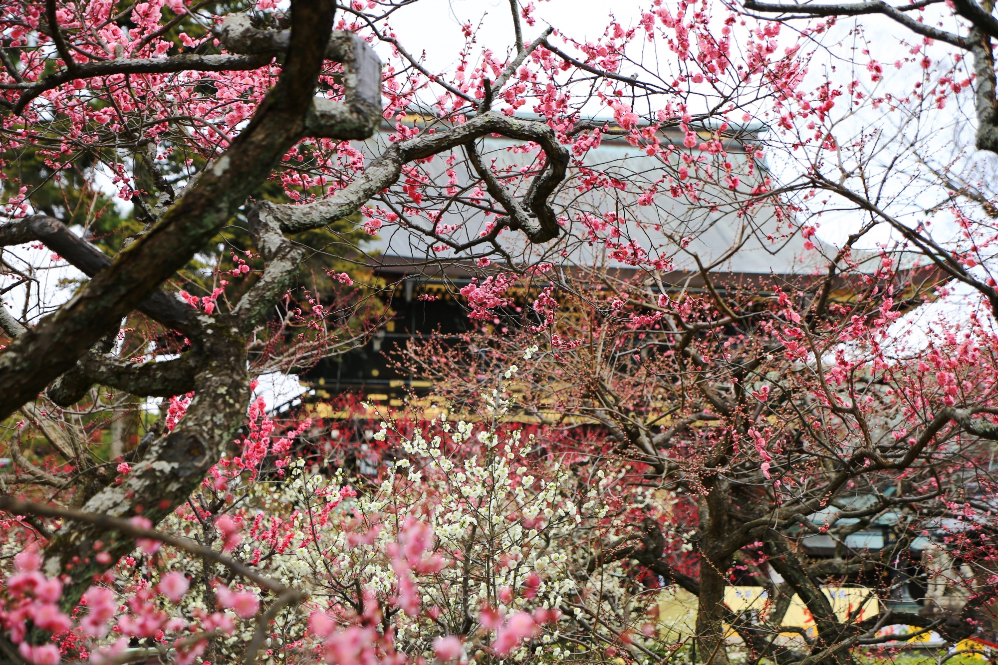 白やピンクの梅の花が華やかにそめる北野天満宮の楼門