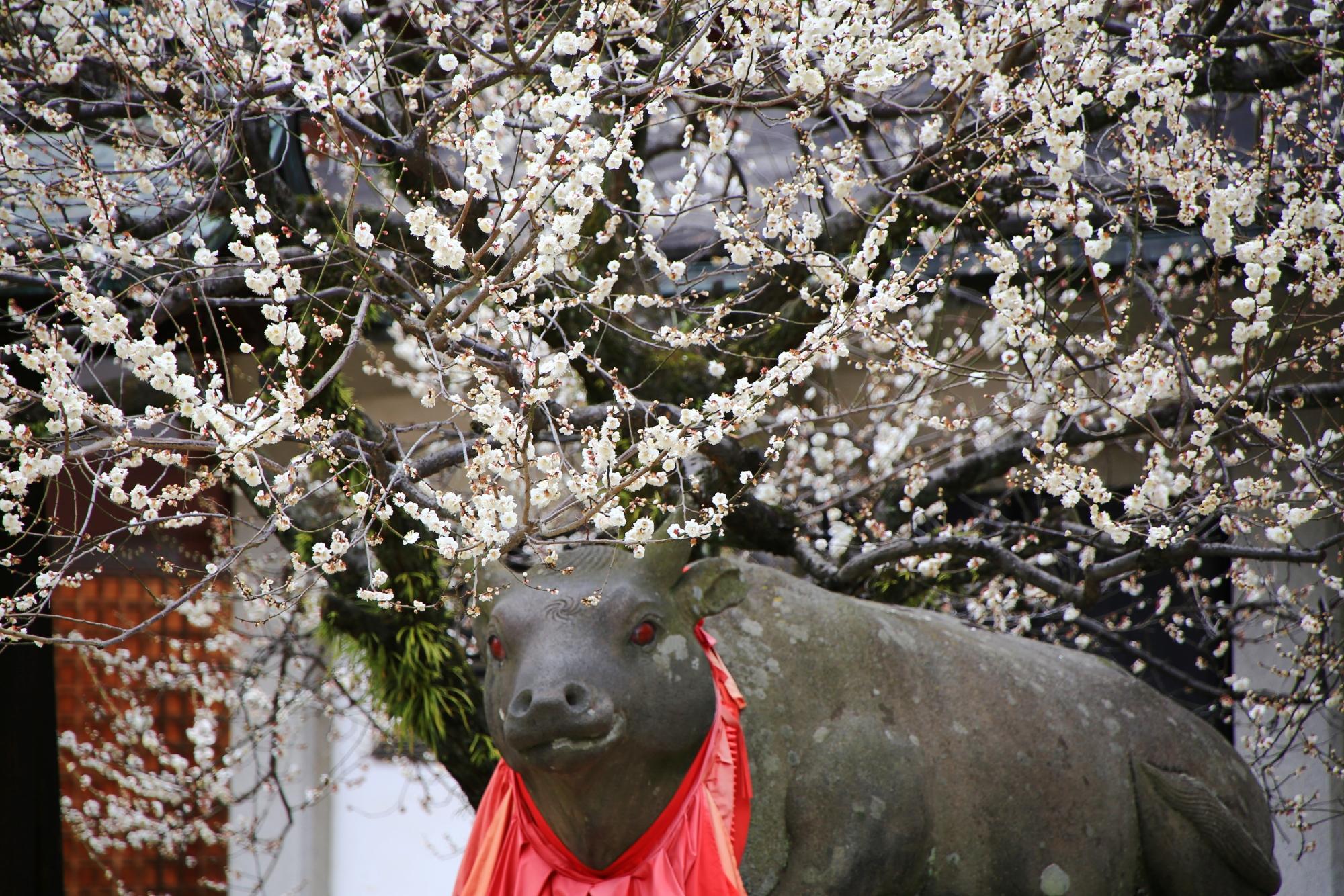 綺麗な梅の花を楽しむ牛さん