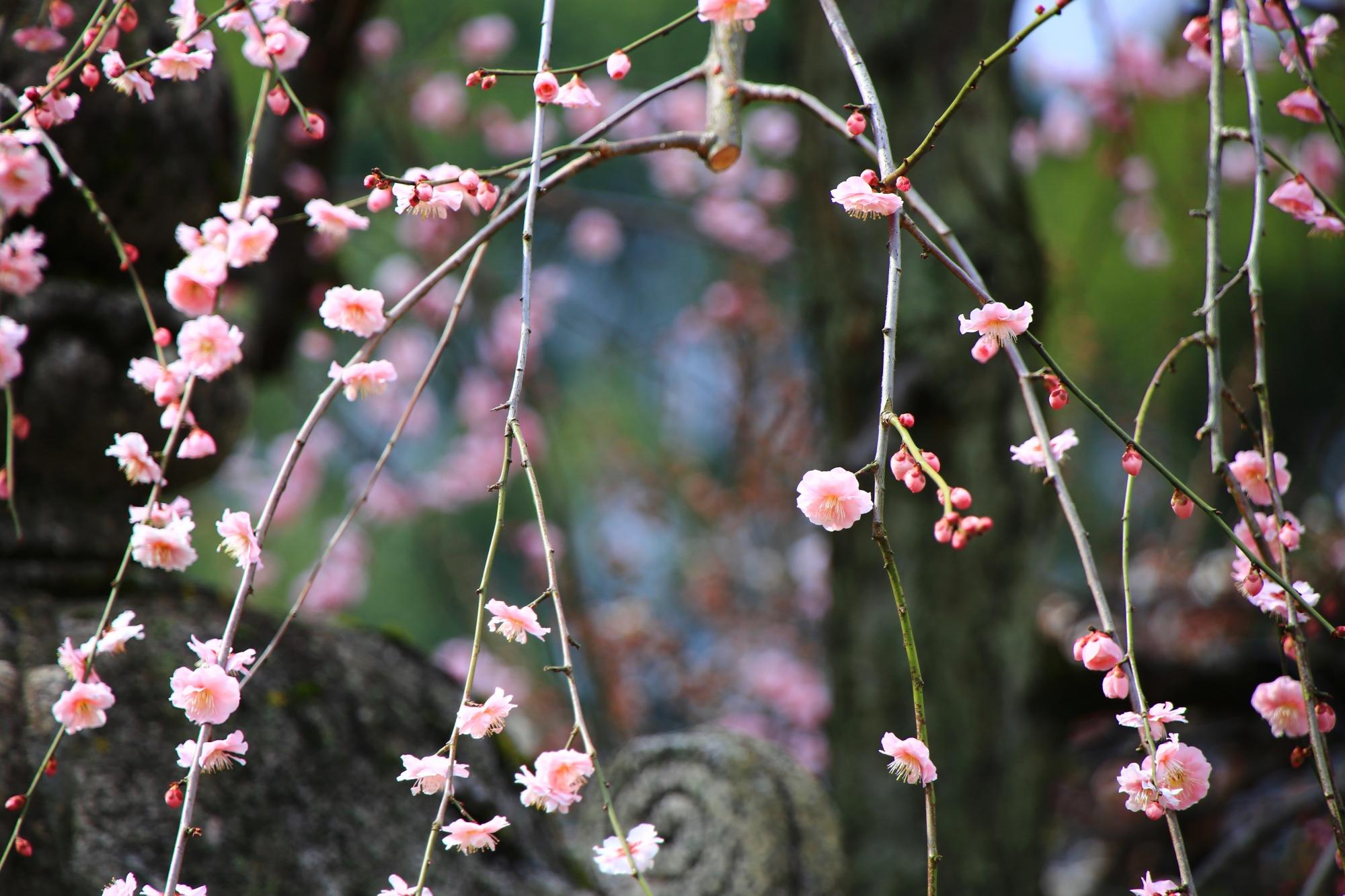 非常に可愛らしいピンクの梅の花