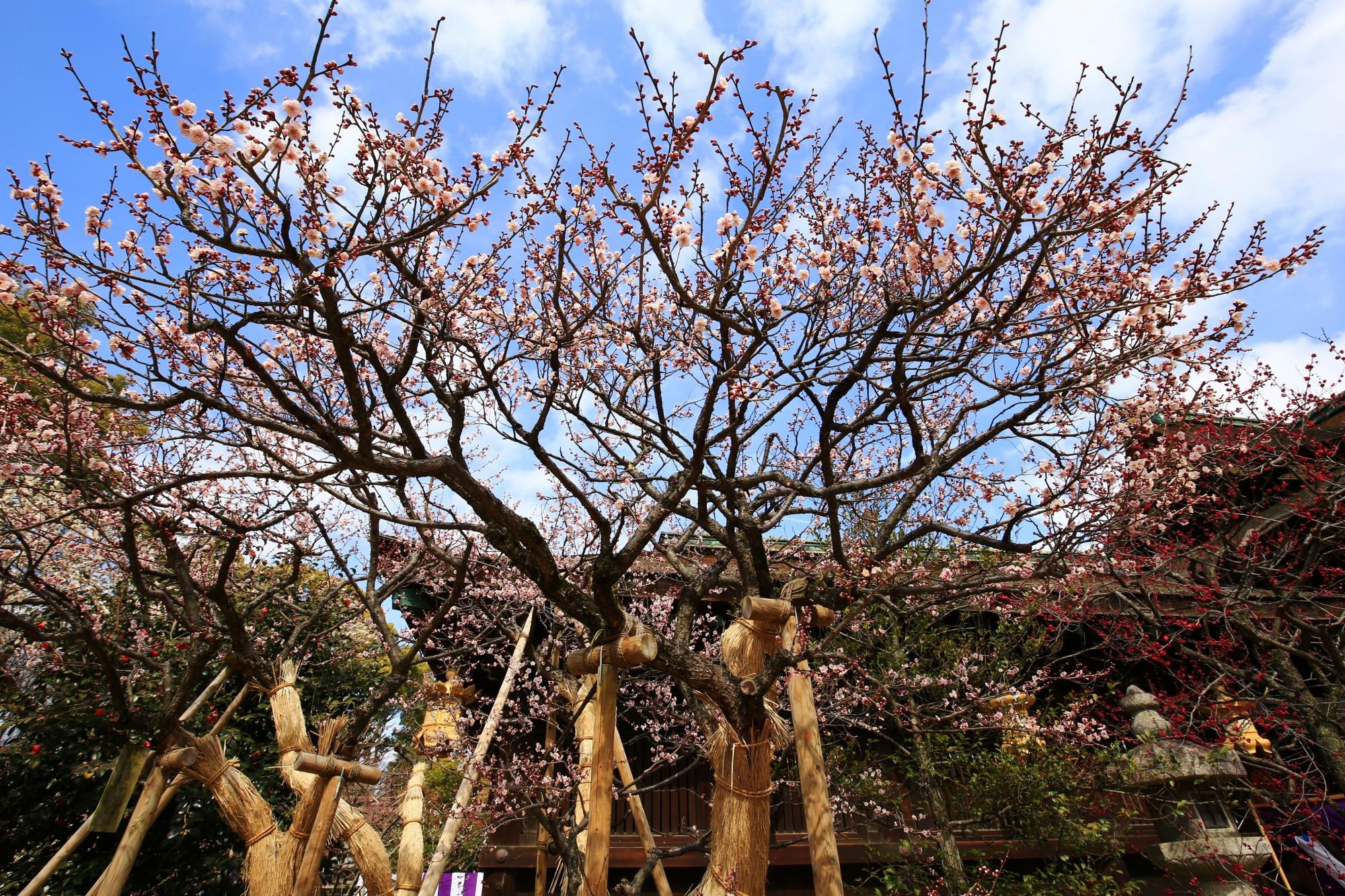 色とりどりの梅が咲く三光門周辺
