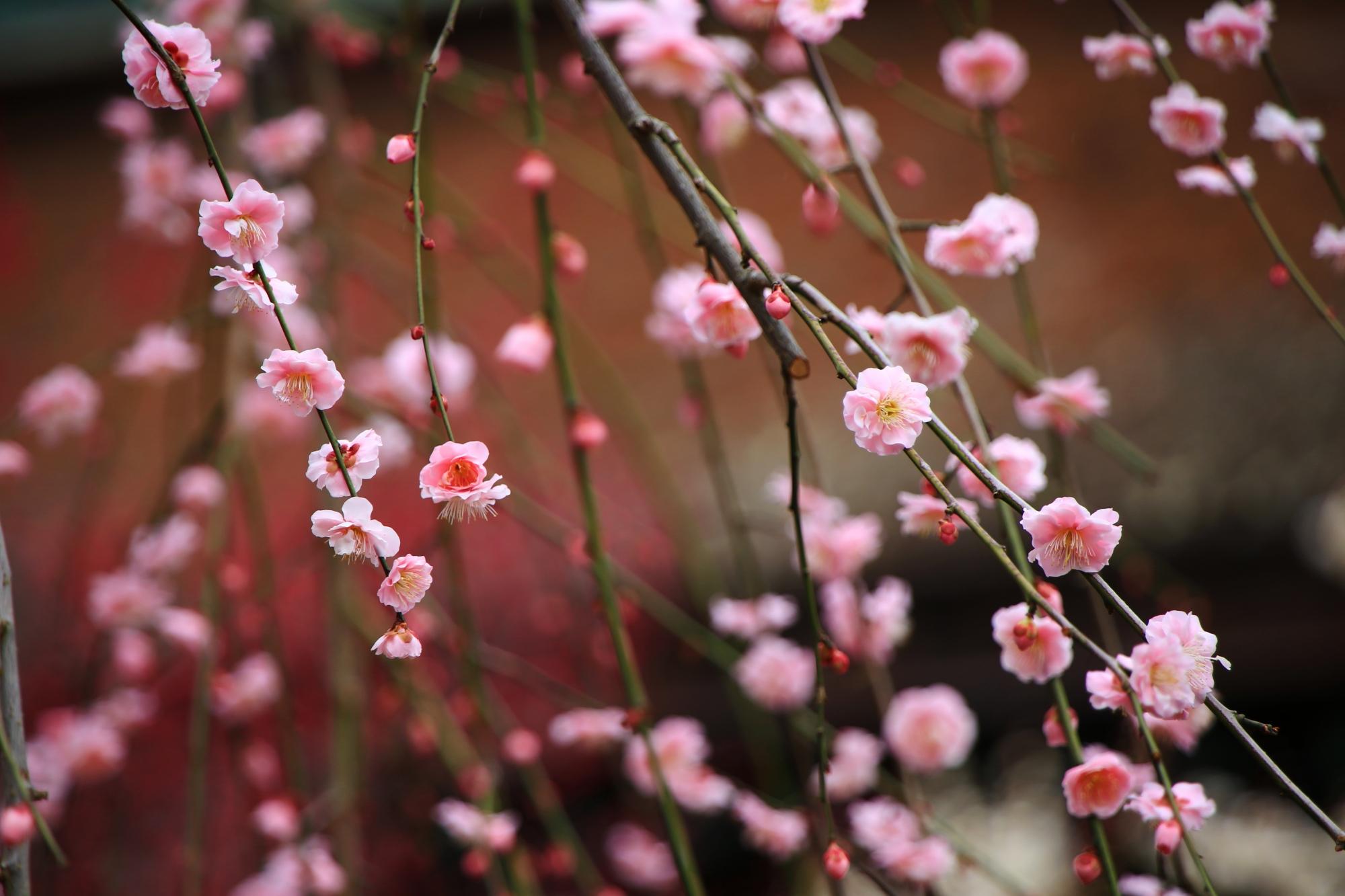 春先を華やかに彩る梅の花