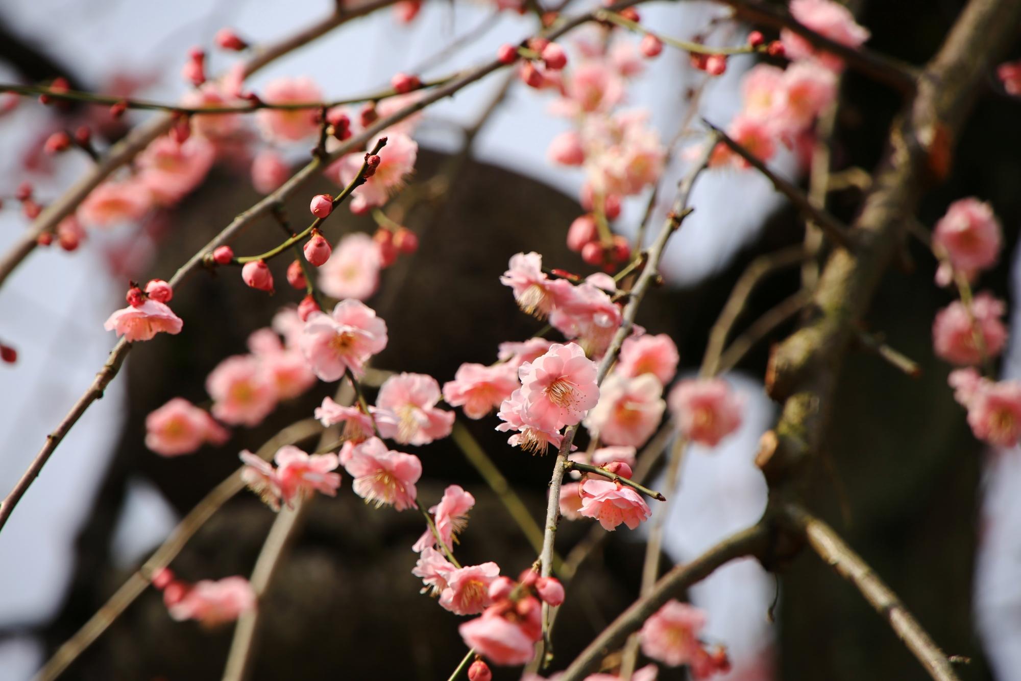 小さい花ながらも立派に咲く梅の花