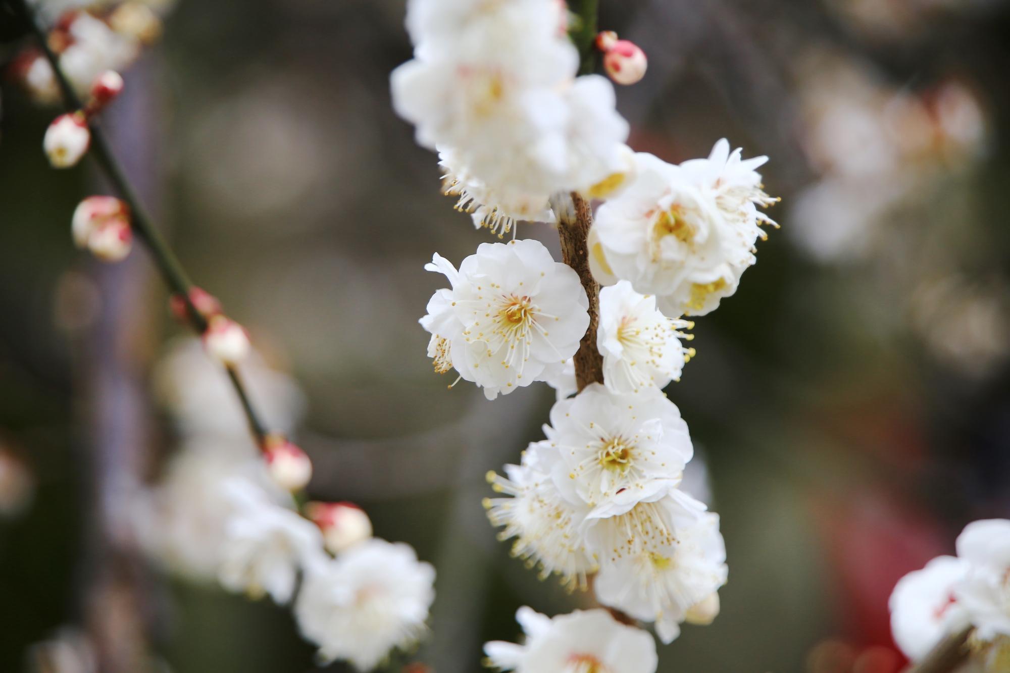 真っ白な立派な白梅