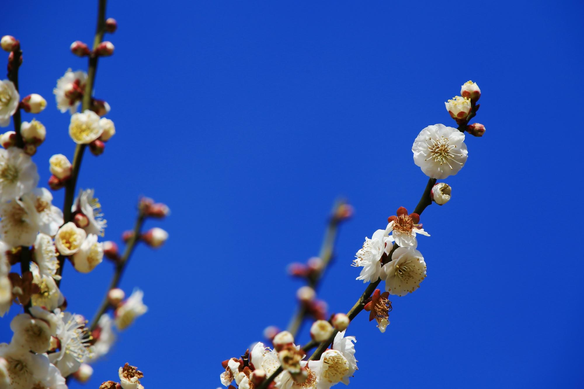 青空に映える可愛い白い梅の花